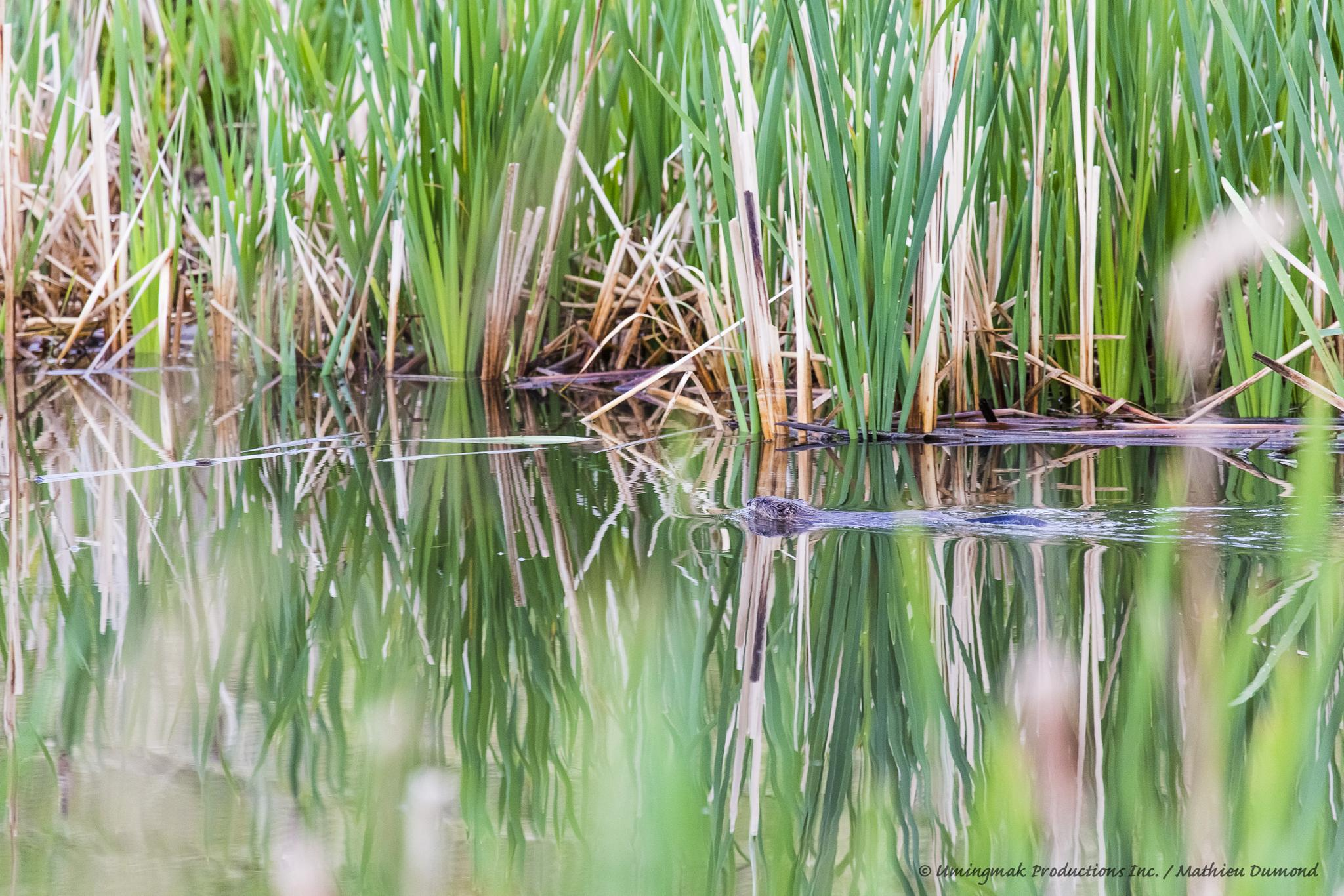 Muskrat in the rushes by Mathieu Dumond