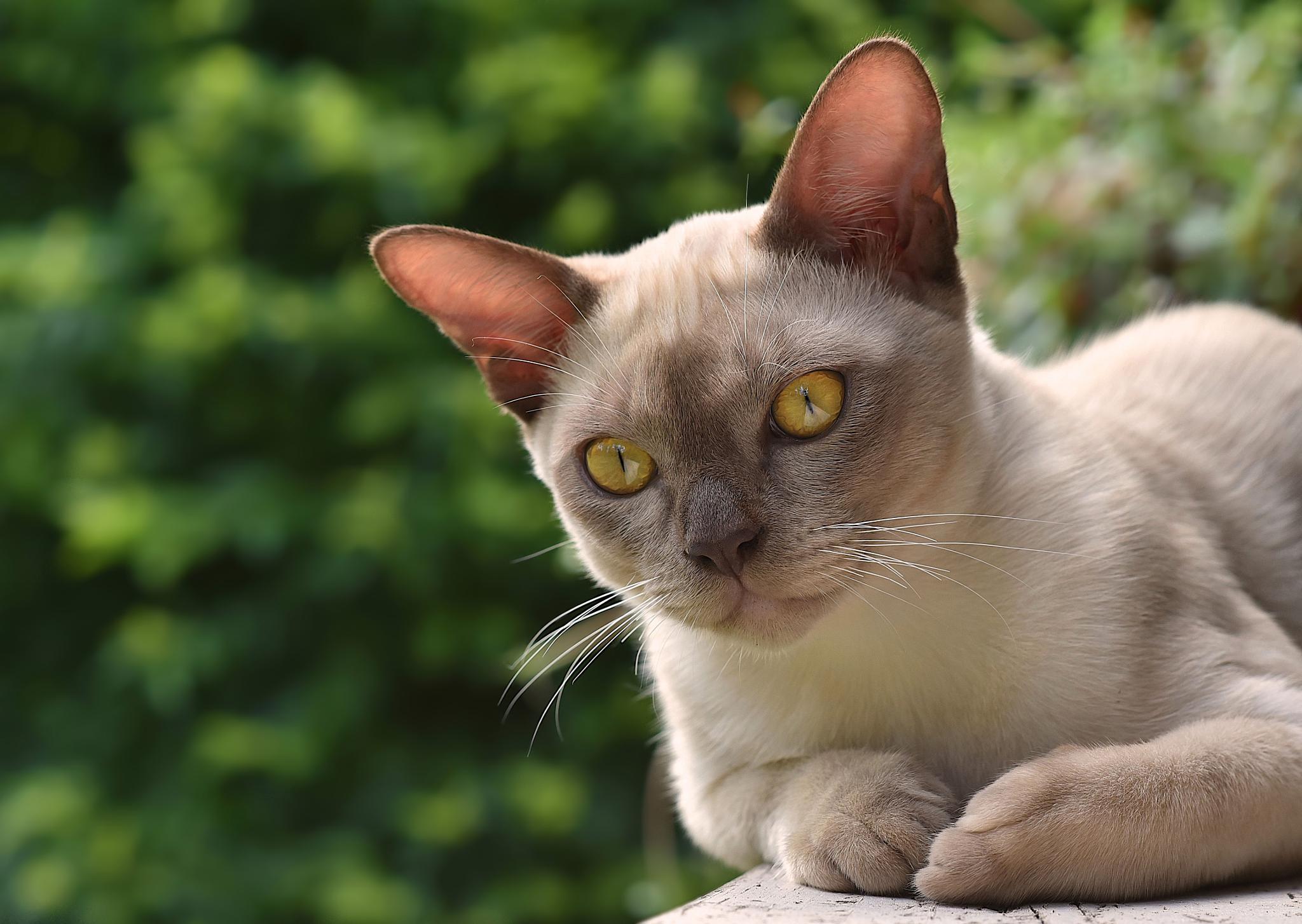 Photo in Animal #burmese cat