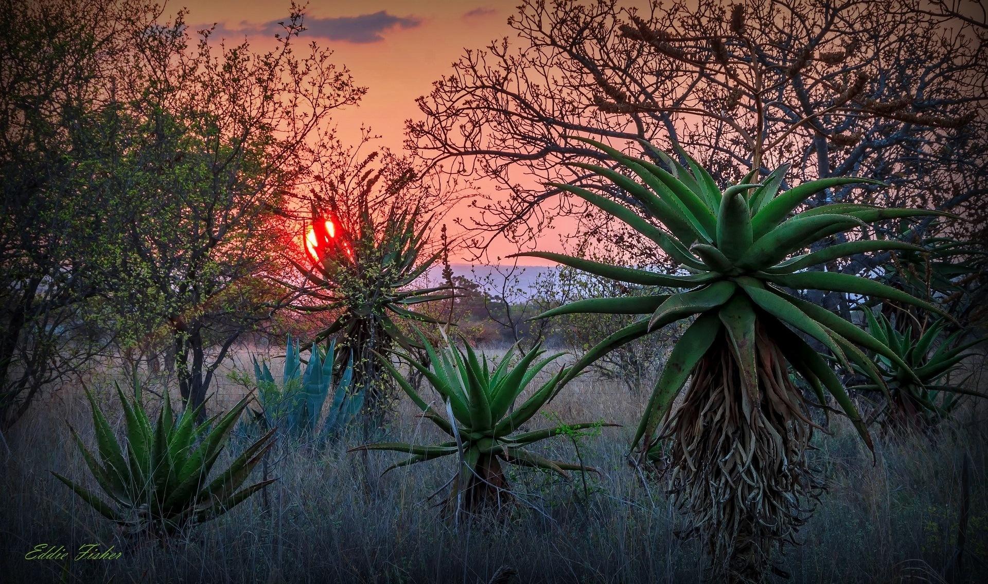 Aloe Sunset 2 by eddie.fisher.509