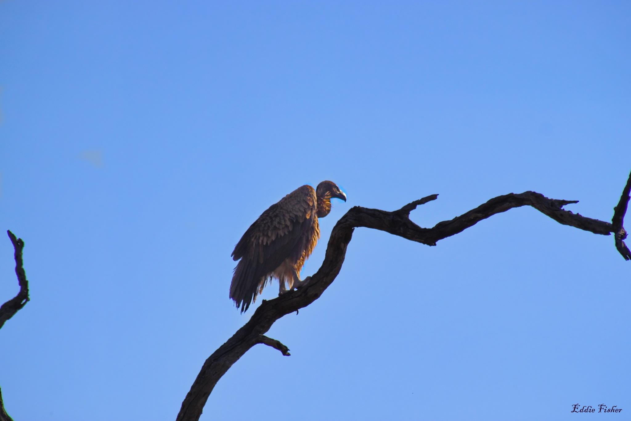 Vulture by eddie.fisher.509