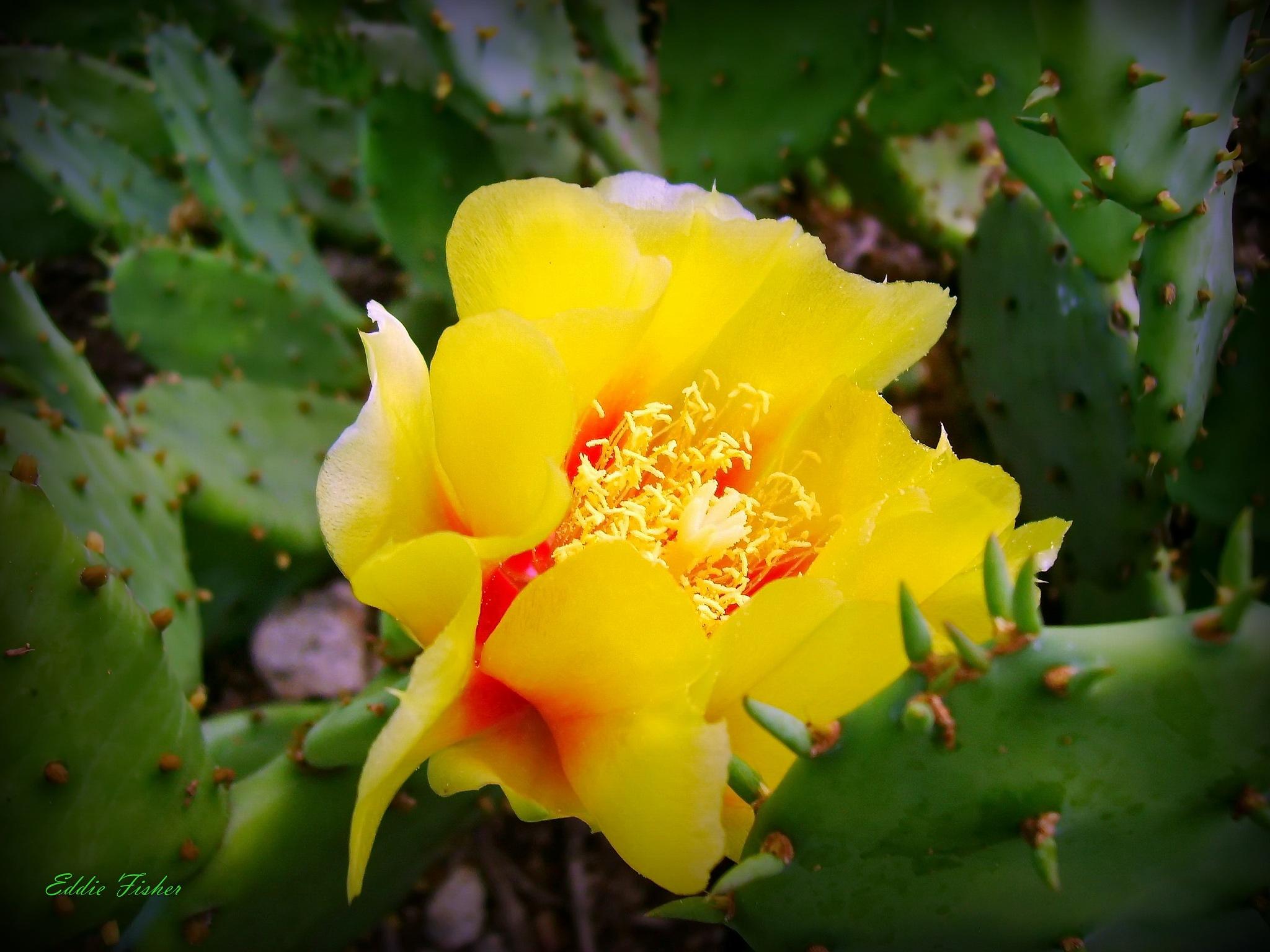 Cactus Flower by eddie.fisher.509