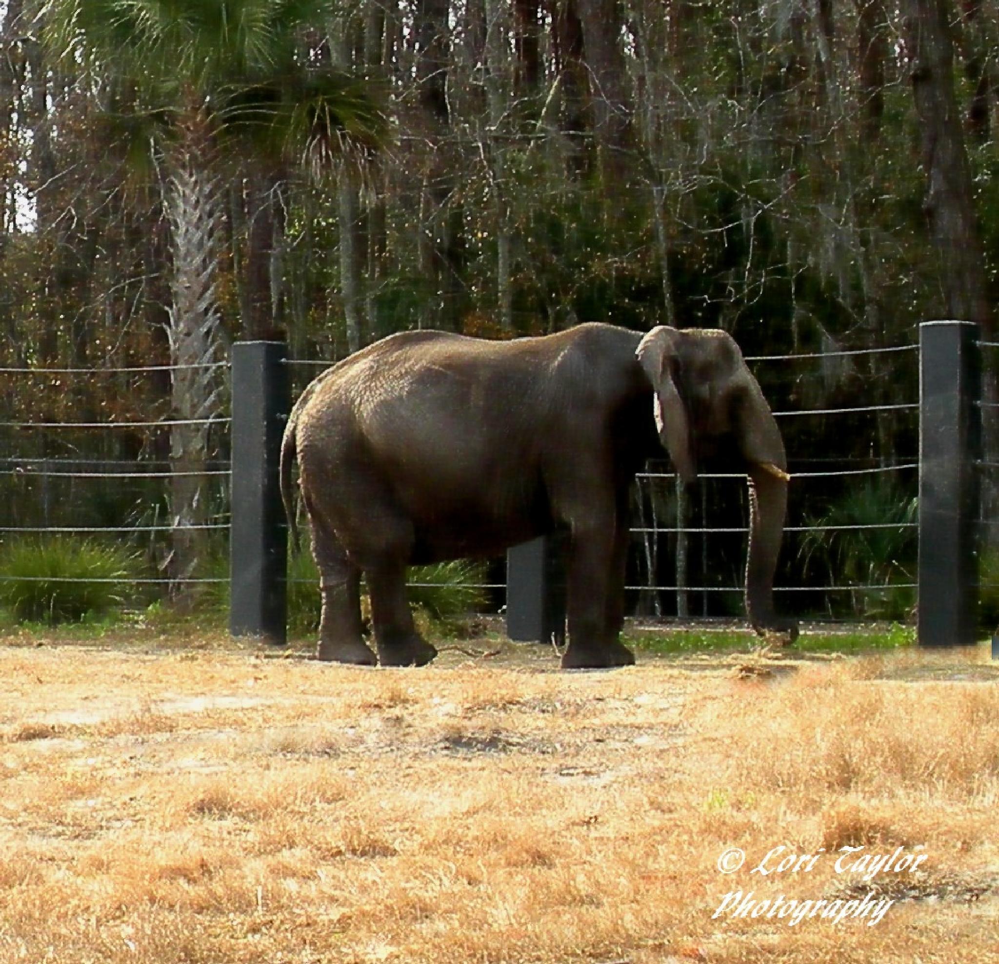 Elephant by Lori21929