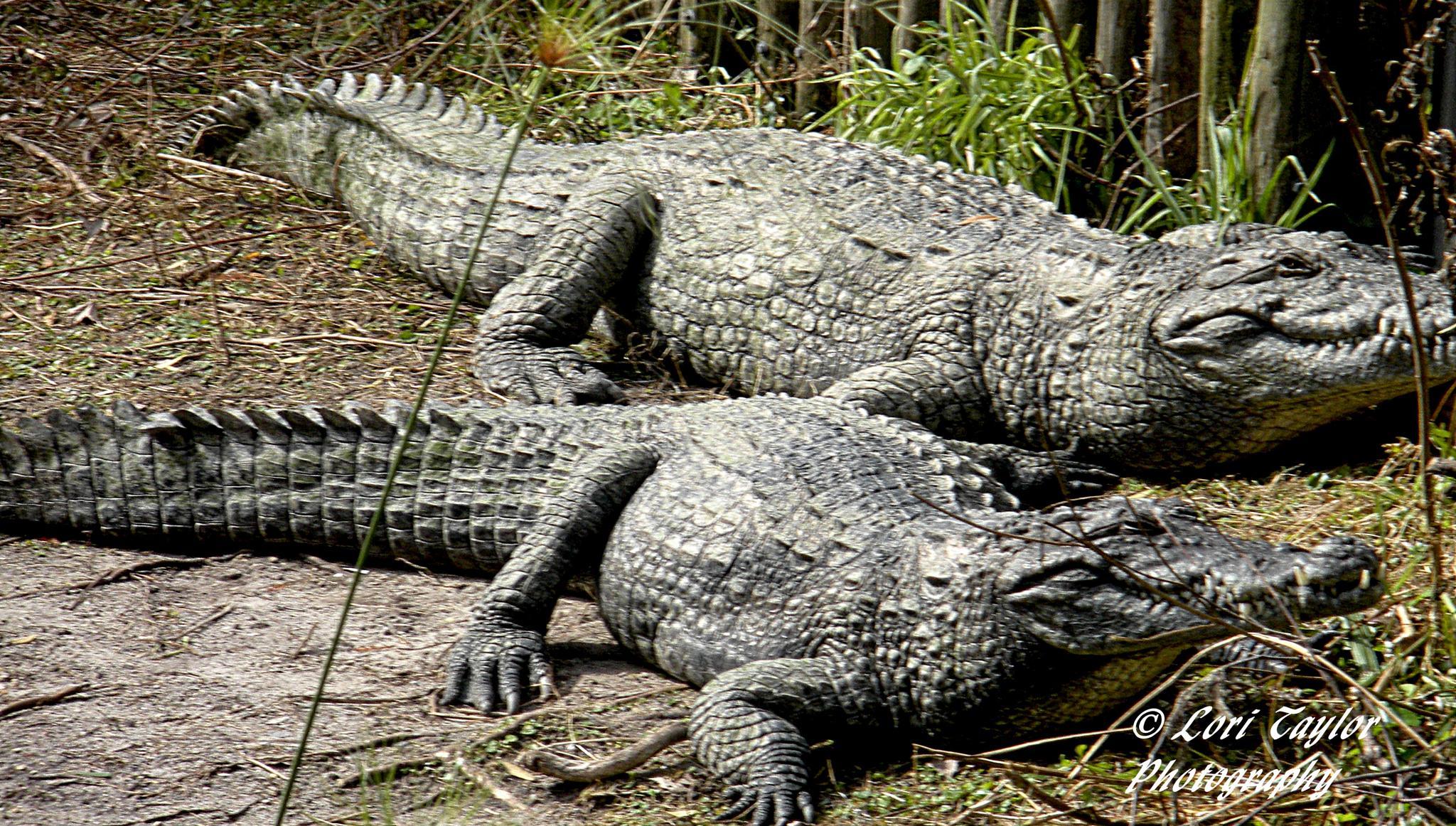Alligator by Lori21929