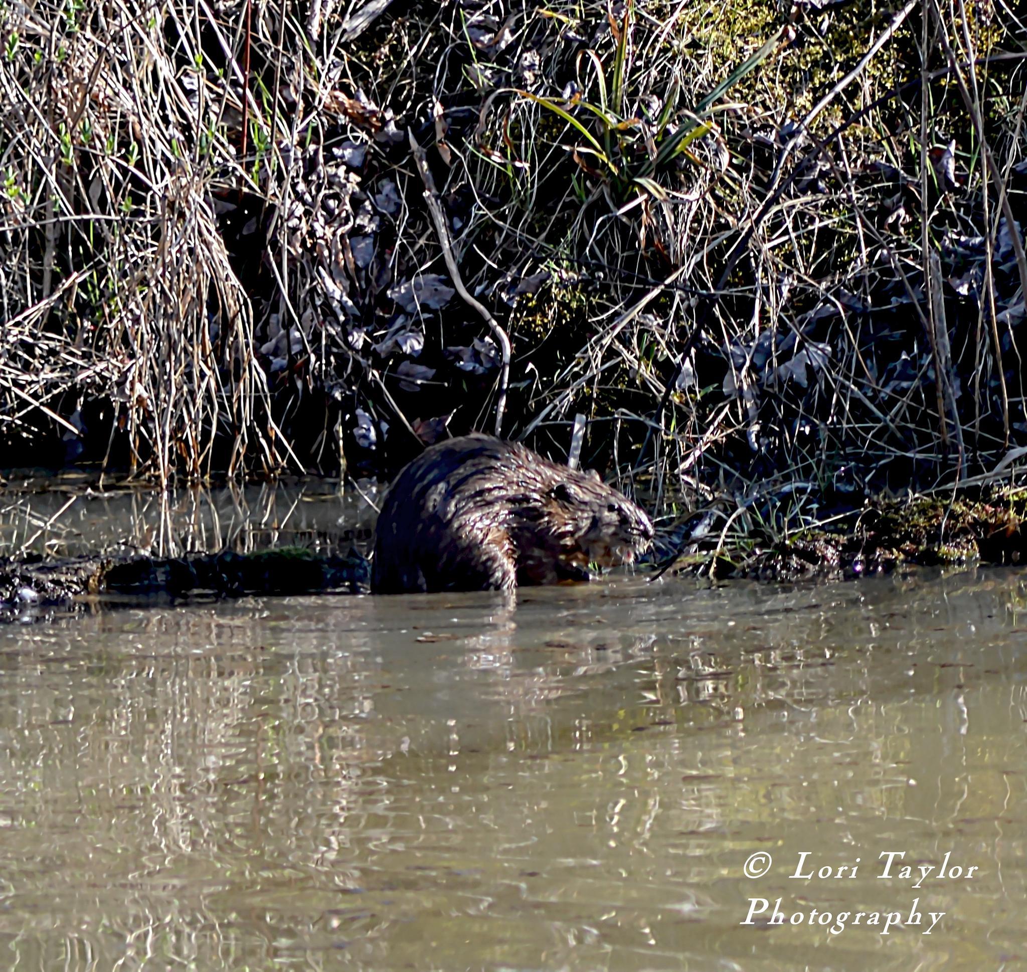 Beaver by Lori21929