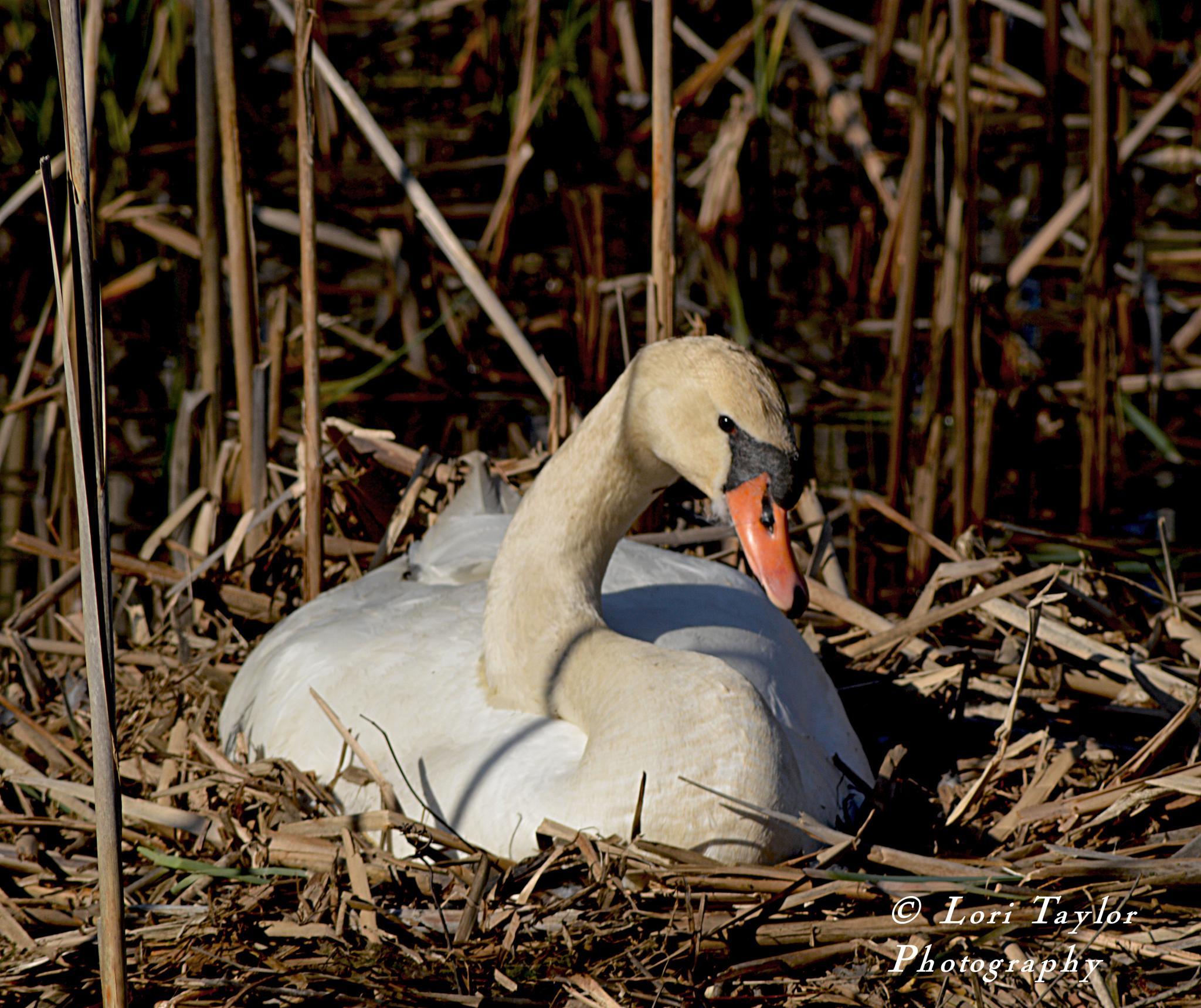 Swan nesting by Lori21929