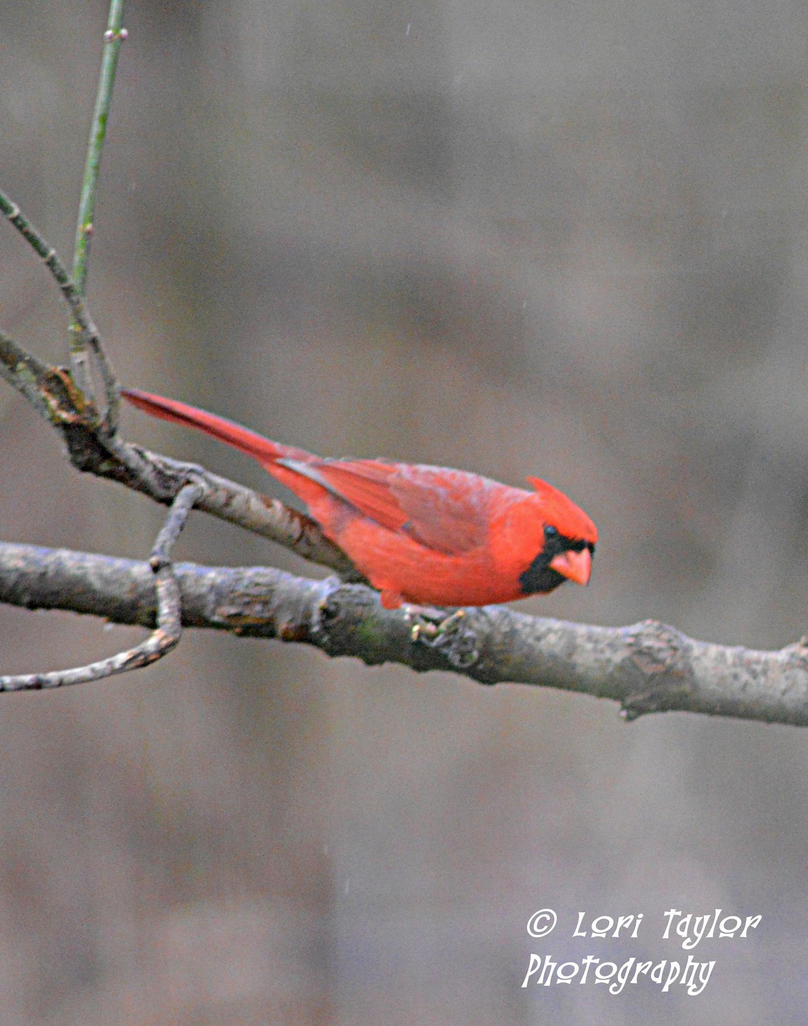 Male Cardinal by Lori21929