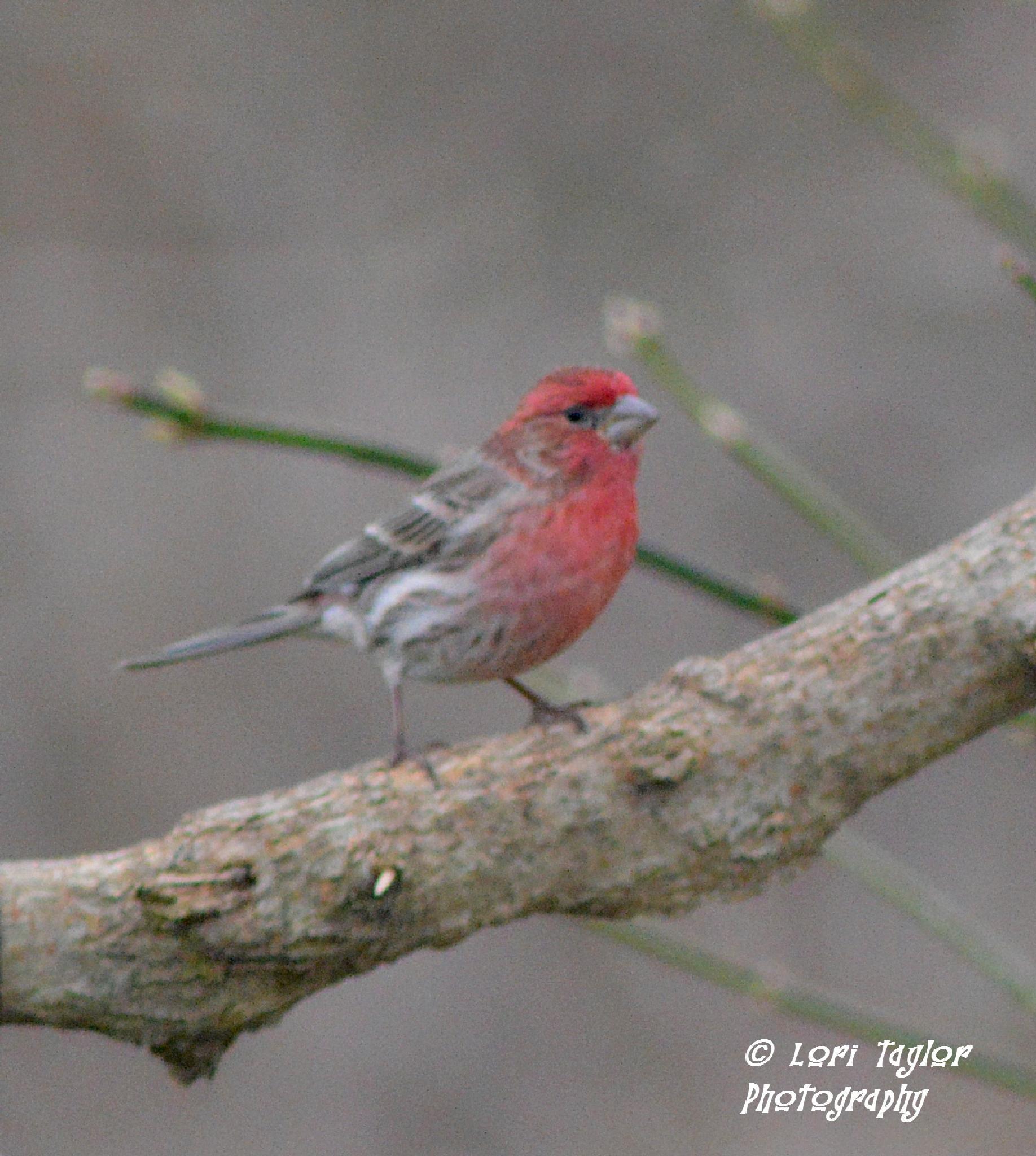 Male House Finch by Lori21929