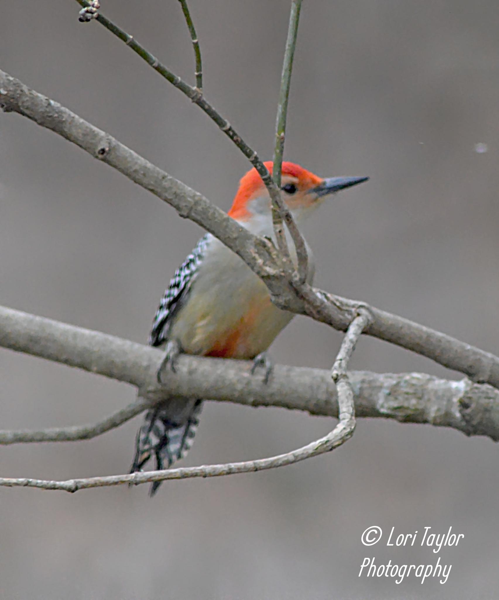 Red Bellied Woodpecker by Lori21929