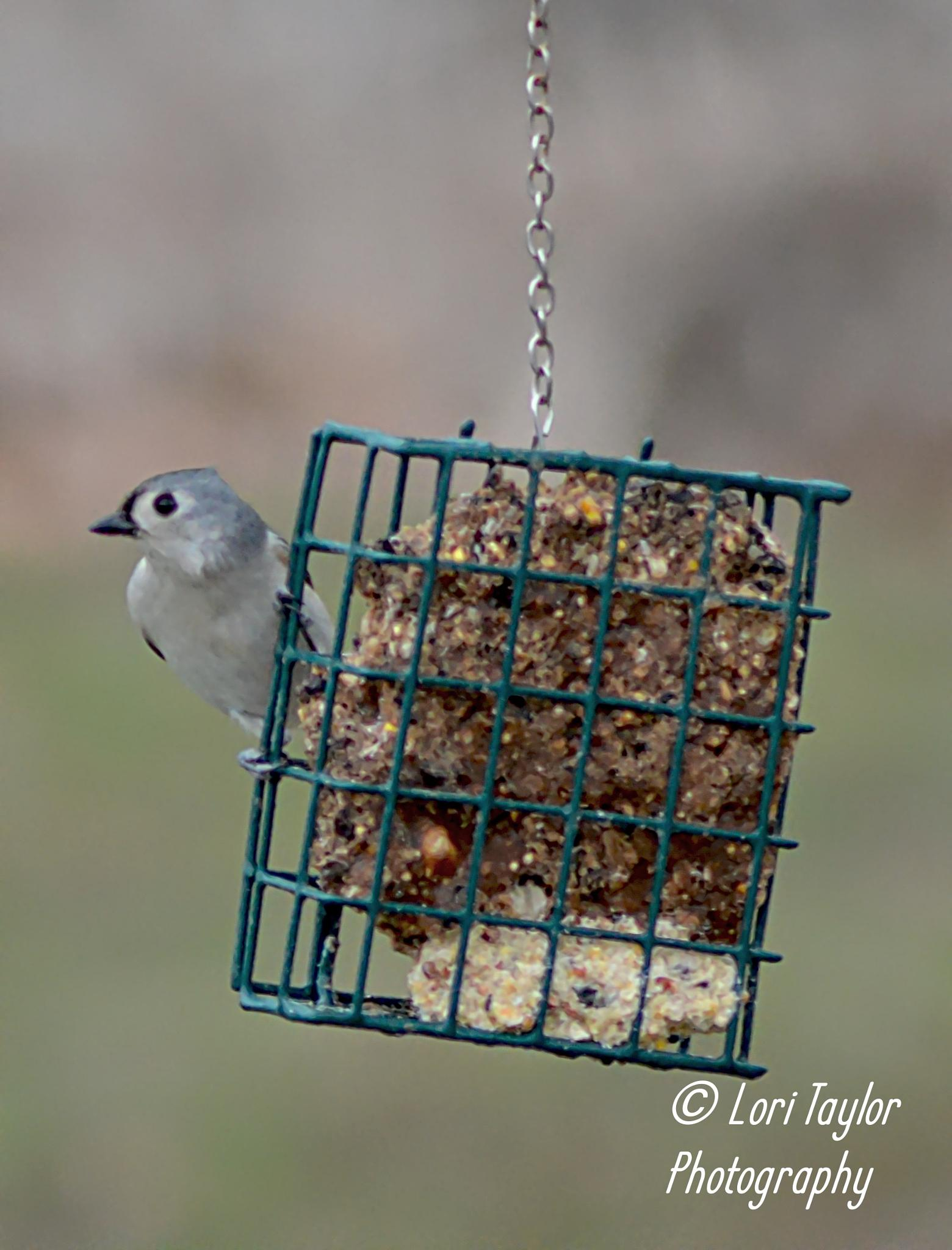 Tufted Titmouse by Lori21929