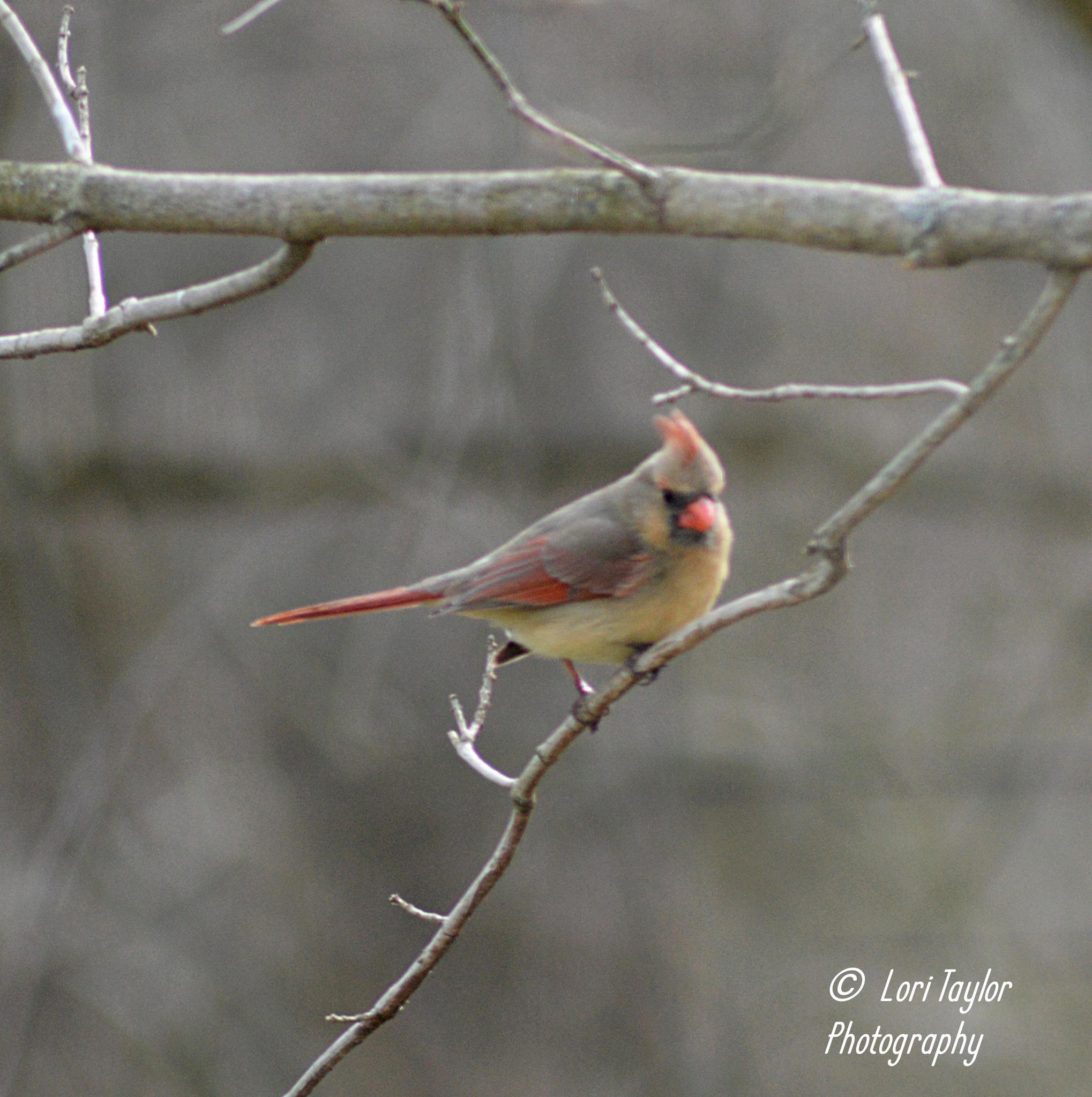 Female Cardinal by Lori21929