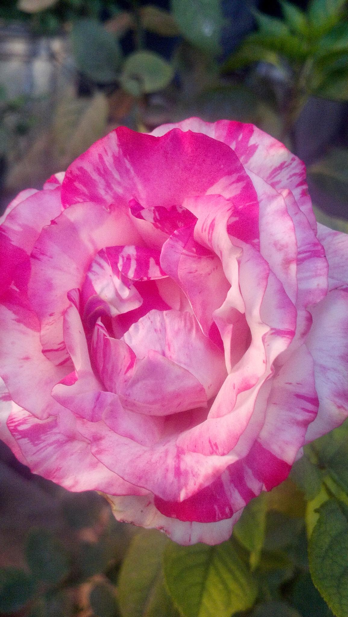 flower by alvin.cordova.37