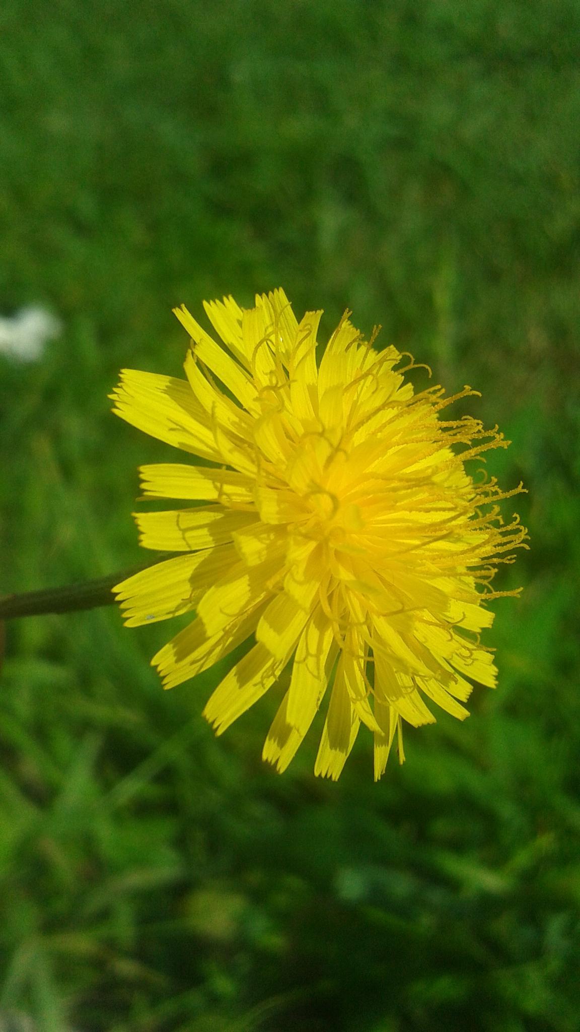 yelow flower  by alvin.cordova.37