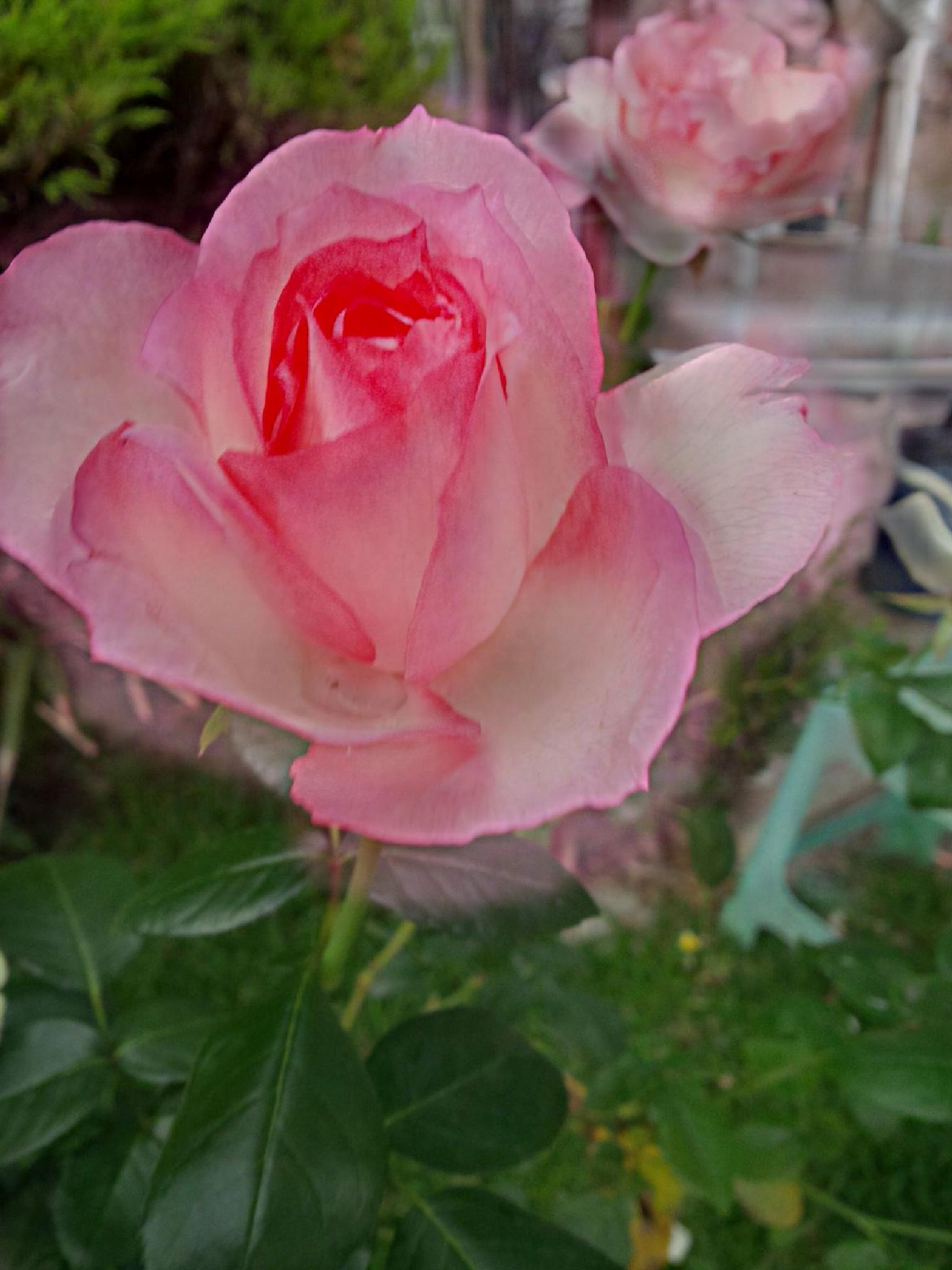 pink rose  by alvin.cordova.37