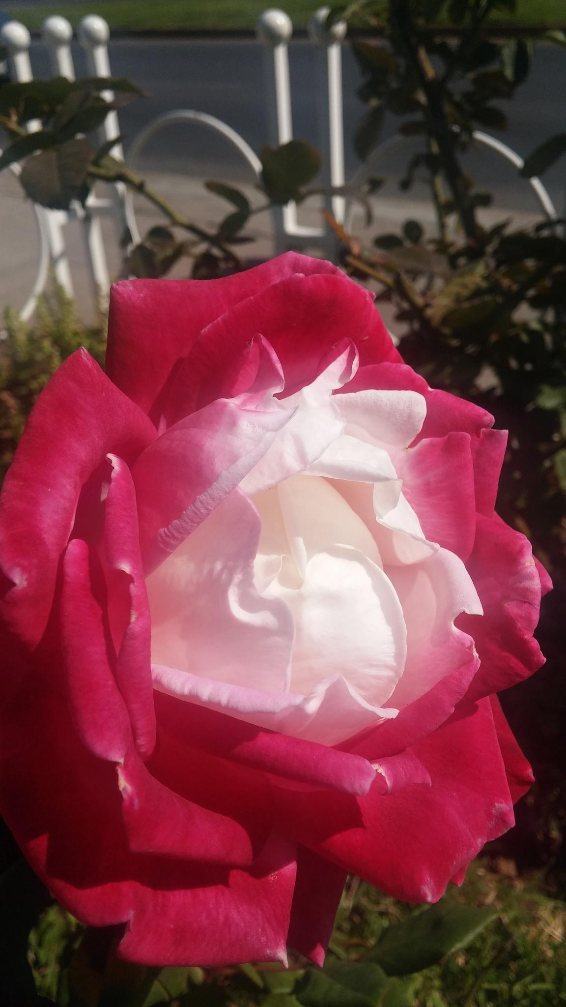 Rose by alvin.cordova.37