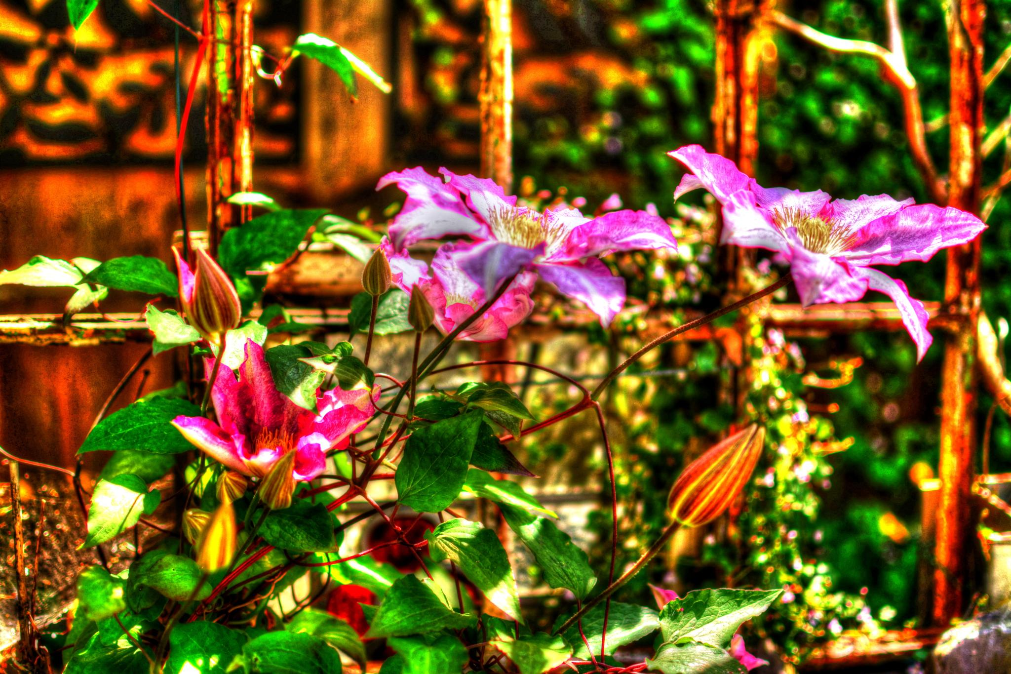 Clematis by Thunderchuckles