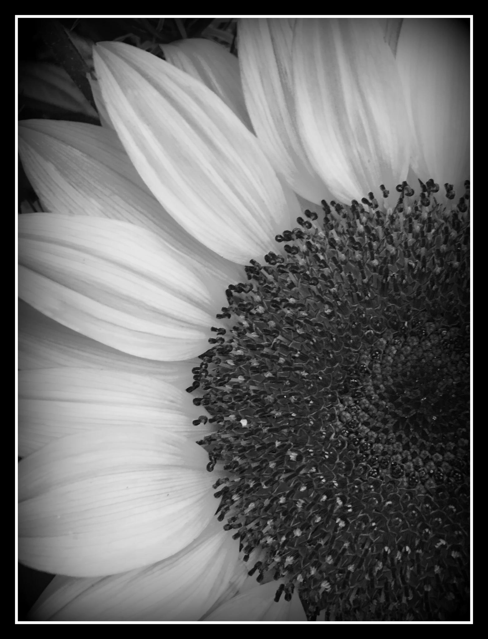 Sunflower in B&W by becky.c.jones.3