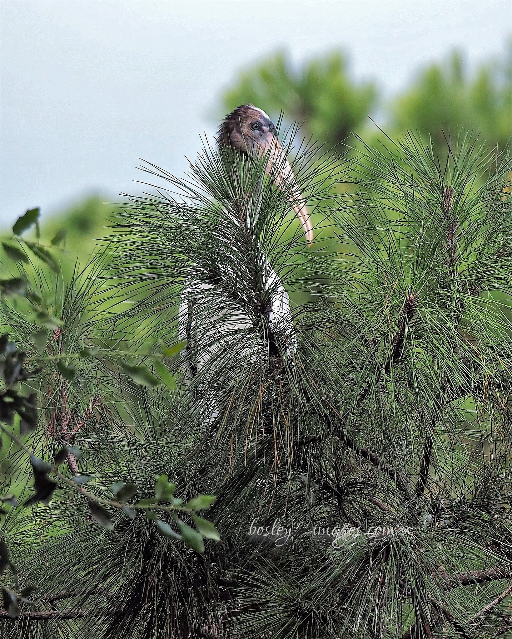 Wood Stork in the pine needles by william.l.bosley