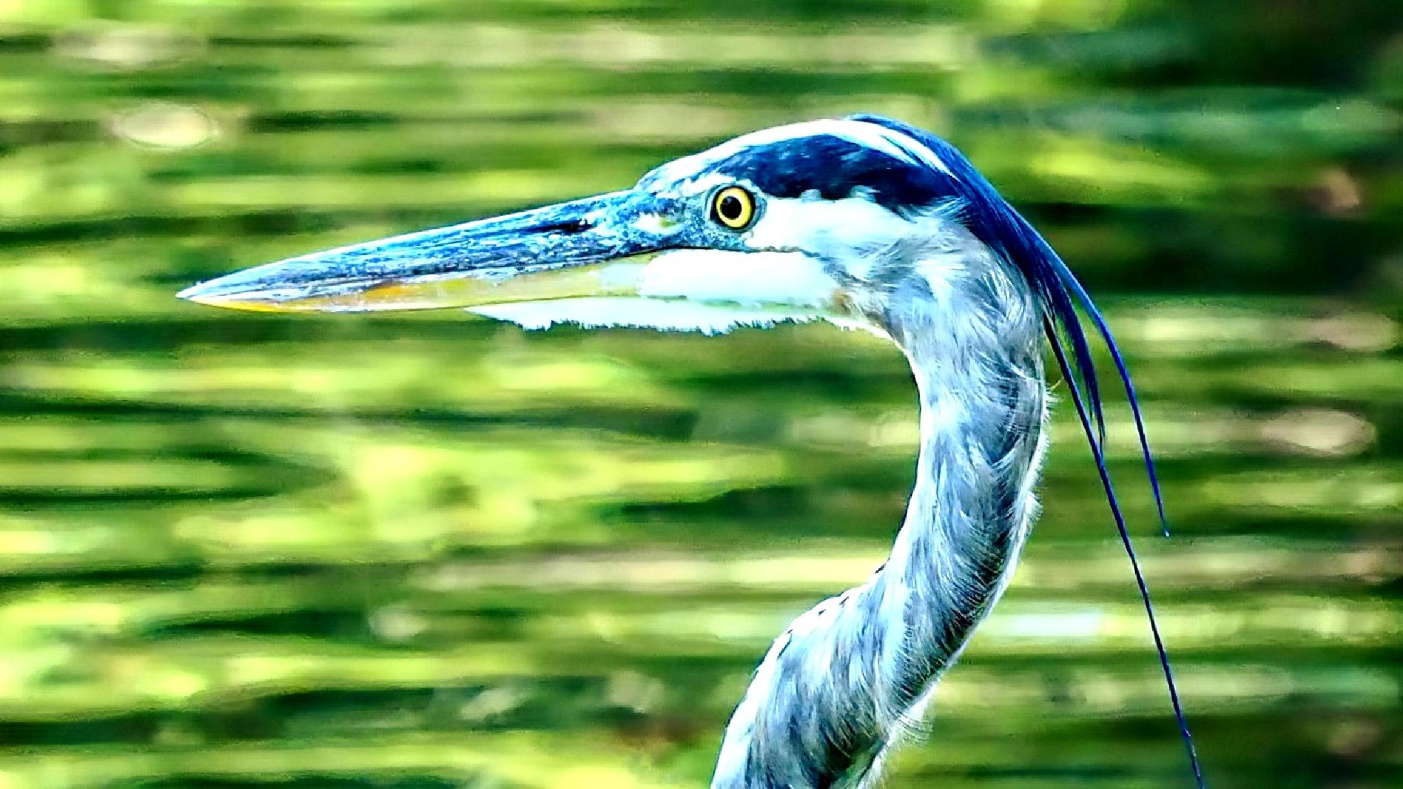 Blue Heron by william.l.bosley
