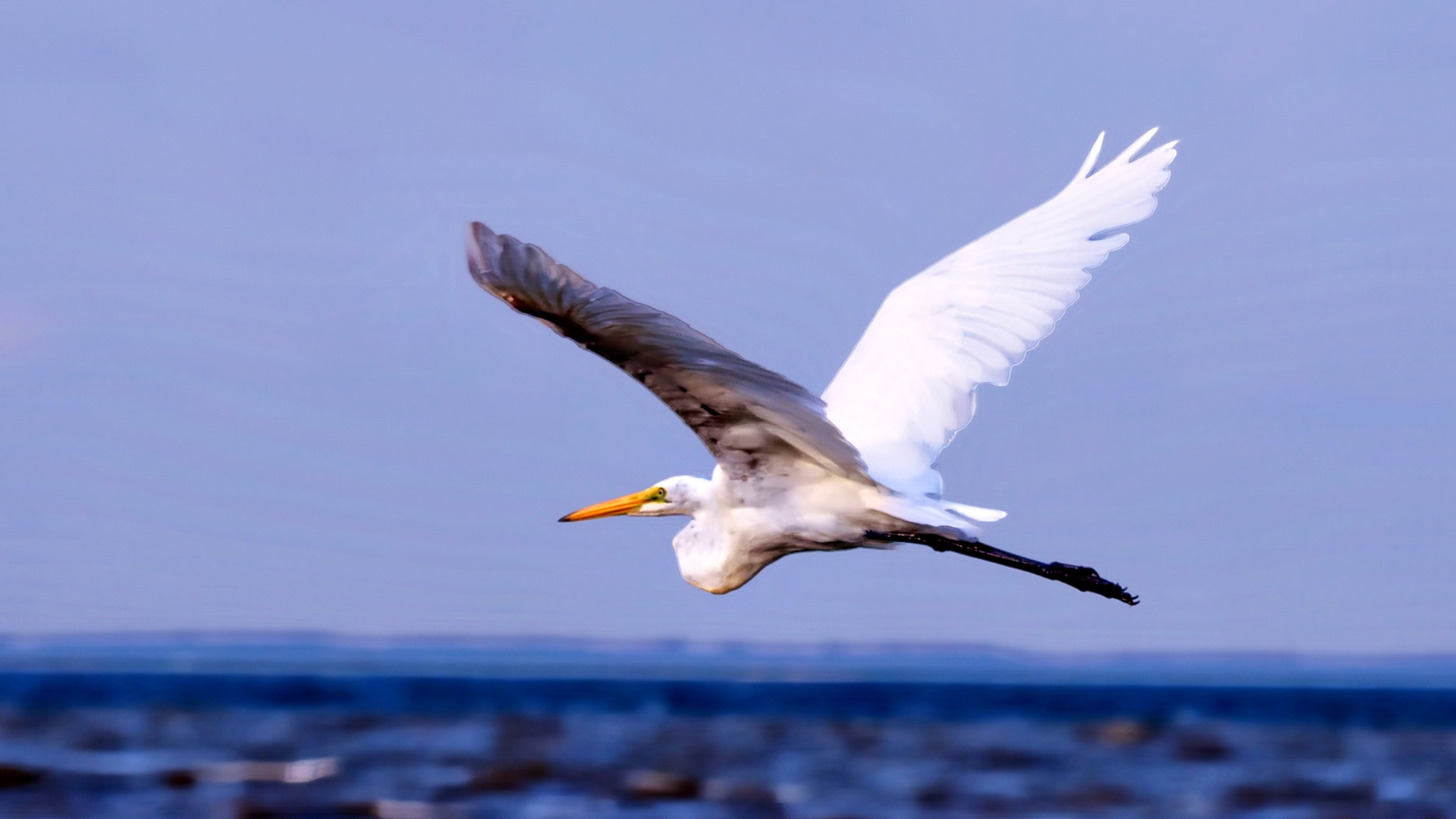 Egret Flyby by william.l.bosley