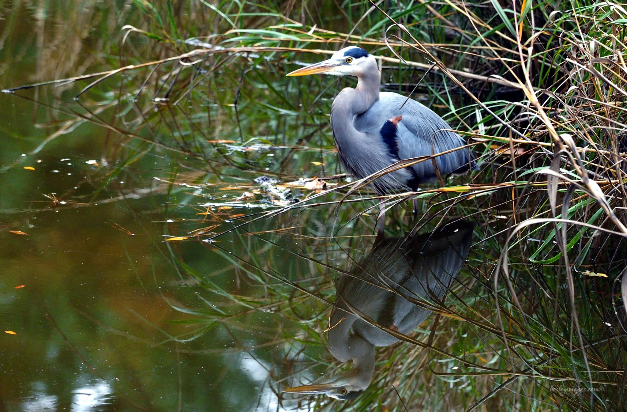 Blue Heron Reflection by william.l.bosley