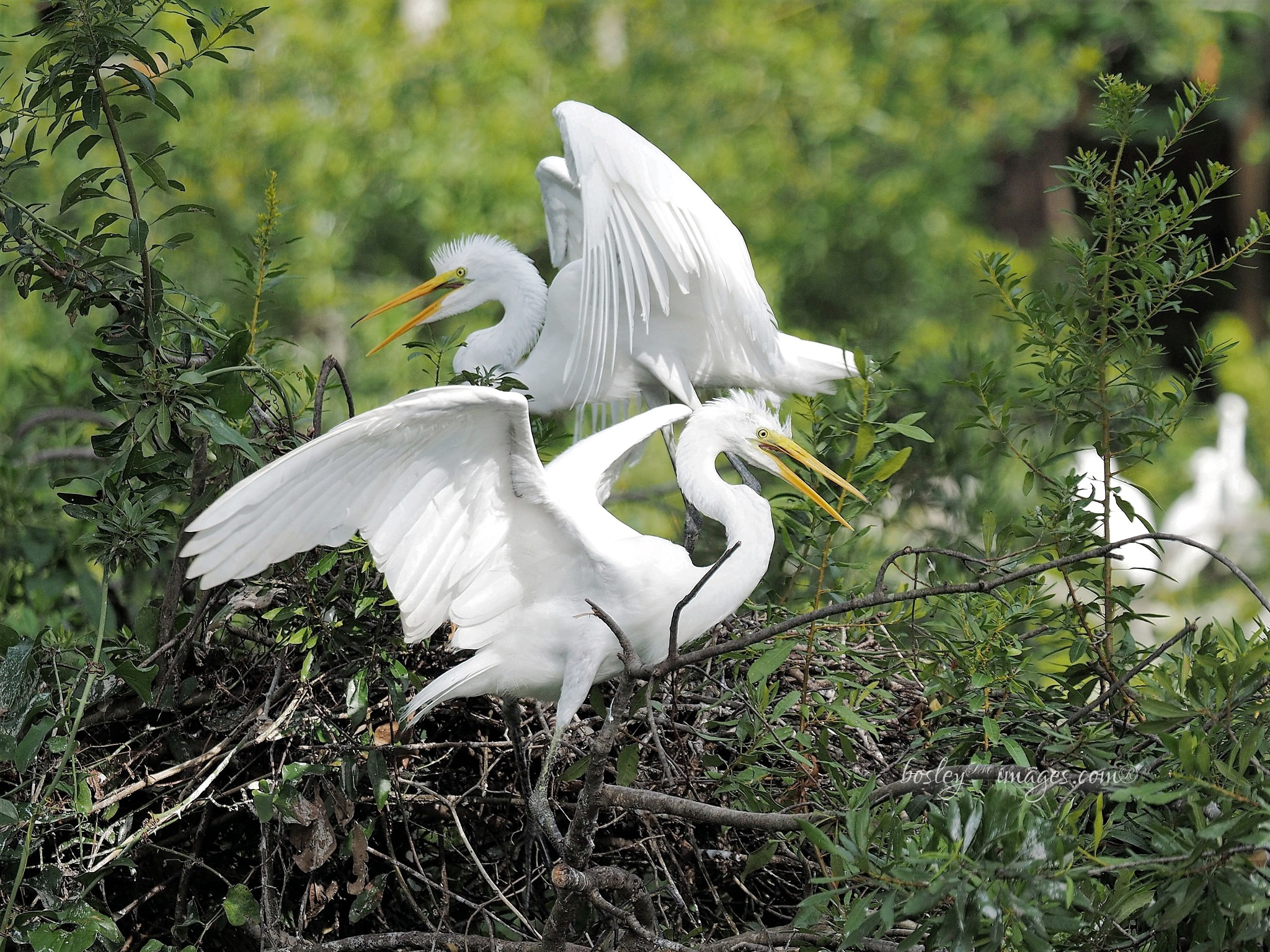 Great White Egret chicks by william.l.bosley