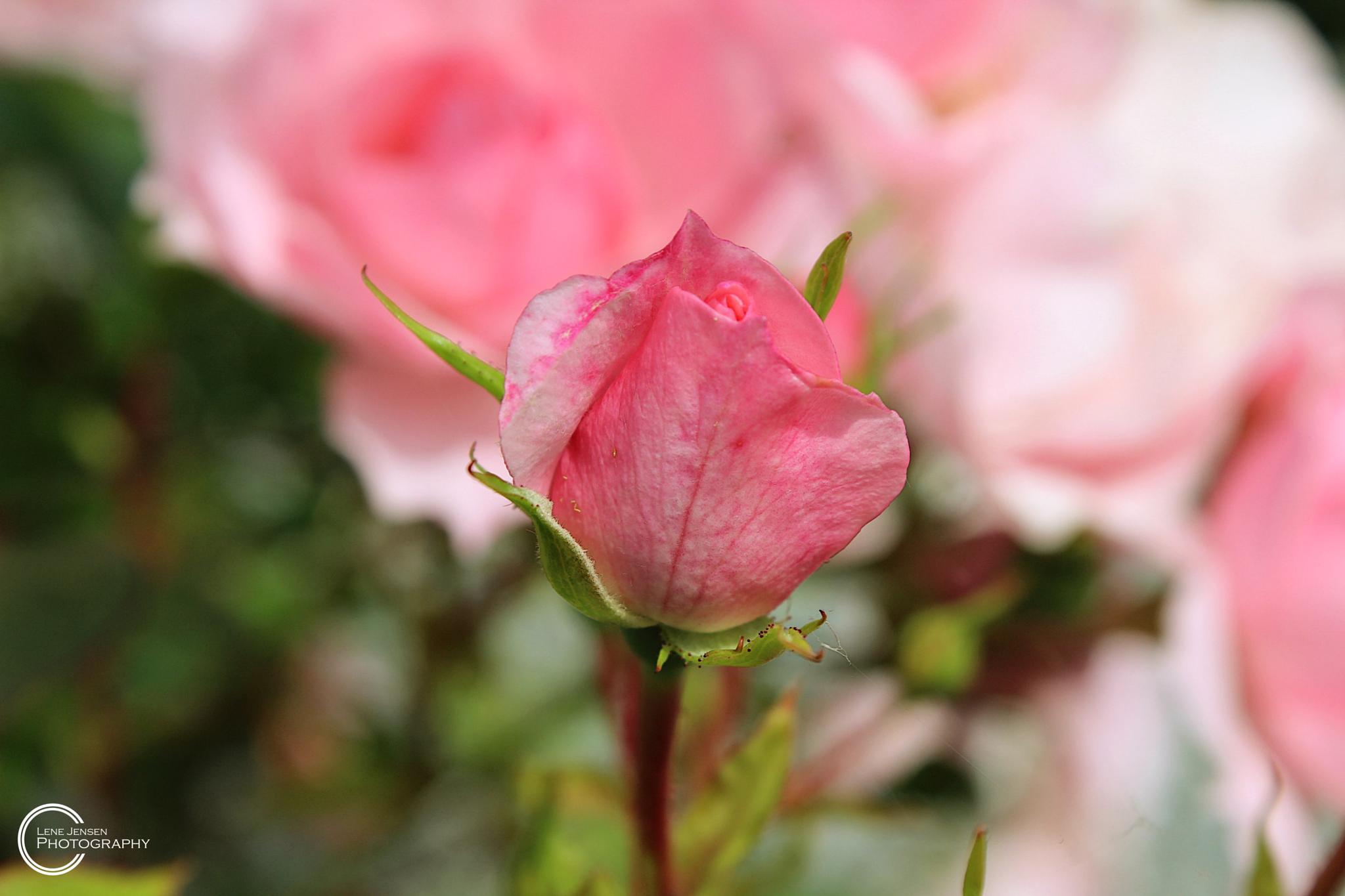 Rose of love by lenejohansen969