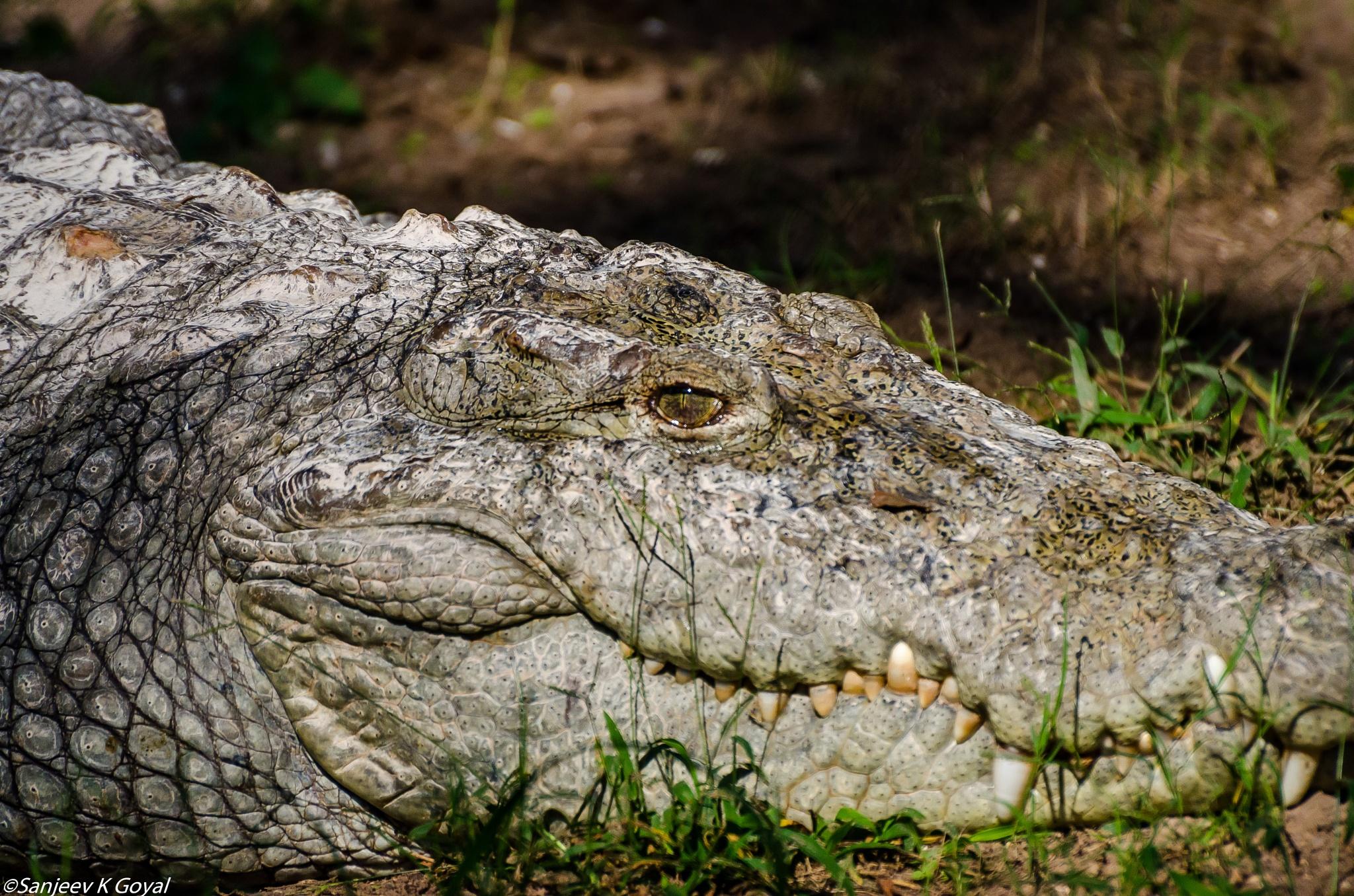 Croc by sanjeev.k.goyal.10
