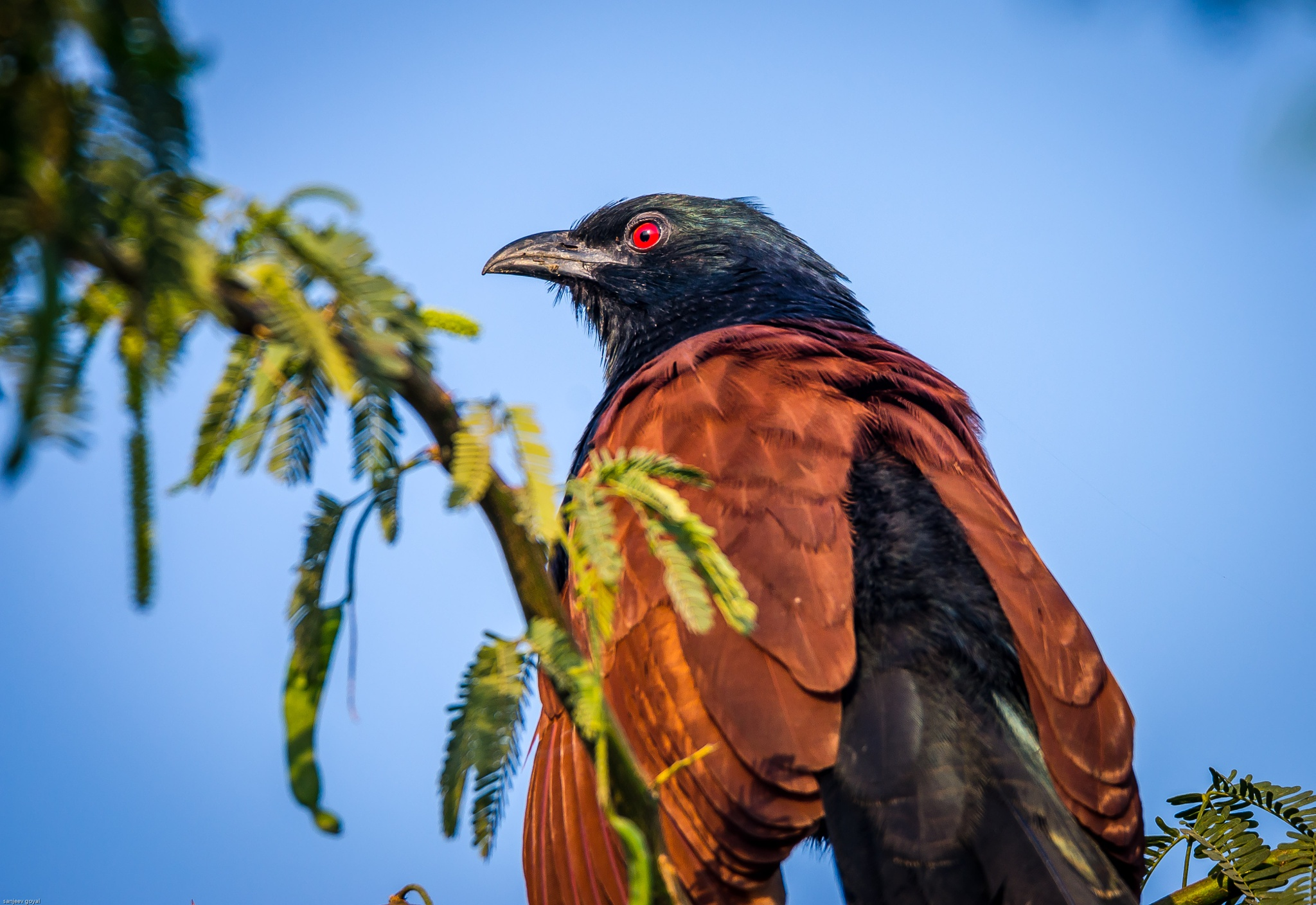 Greater Coucal by sanjeev.k.goyal.10