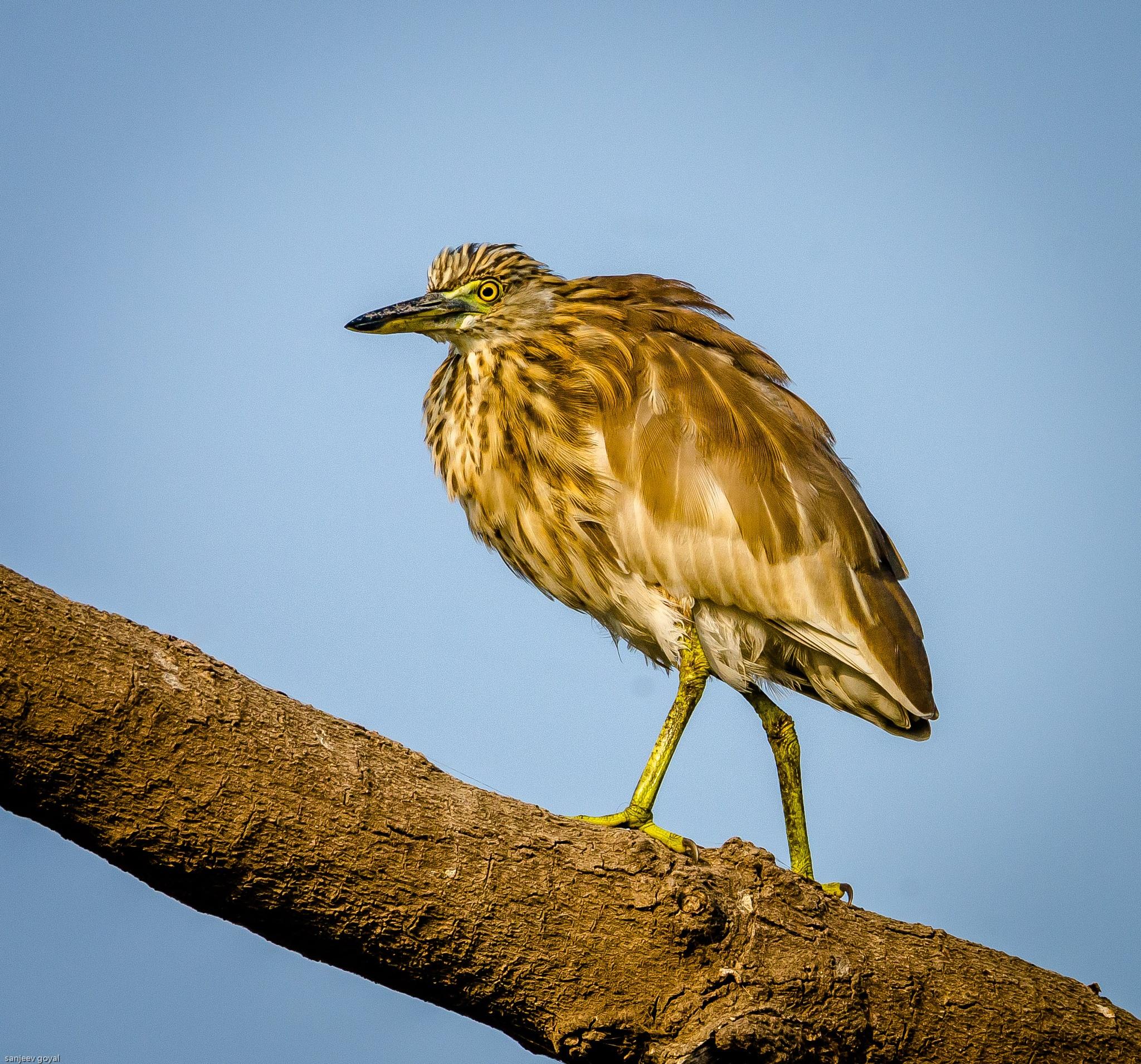 Pond Heron by sanjeev.k.goyal.10
