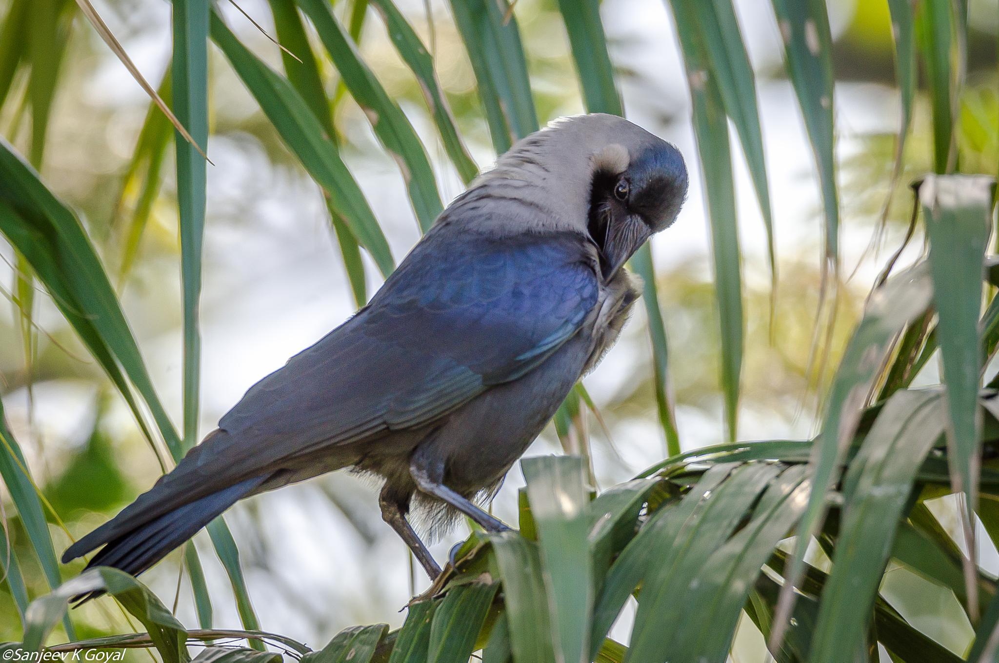 Common Crow by sanjeev.k.goyal.10