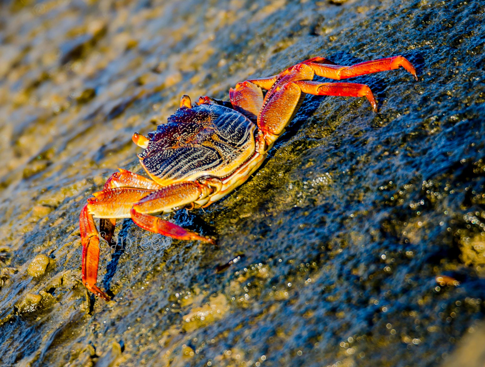 Crab by sanjeev.k.goyal.10
