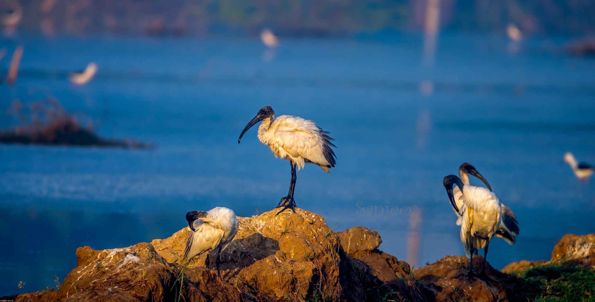 White Ibis by sanjeev.k.goyal.10