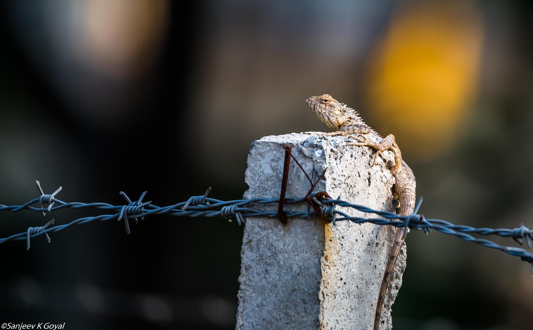 Garden Lizard by sanjeev.k.goyal.10