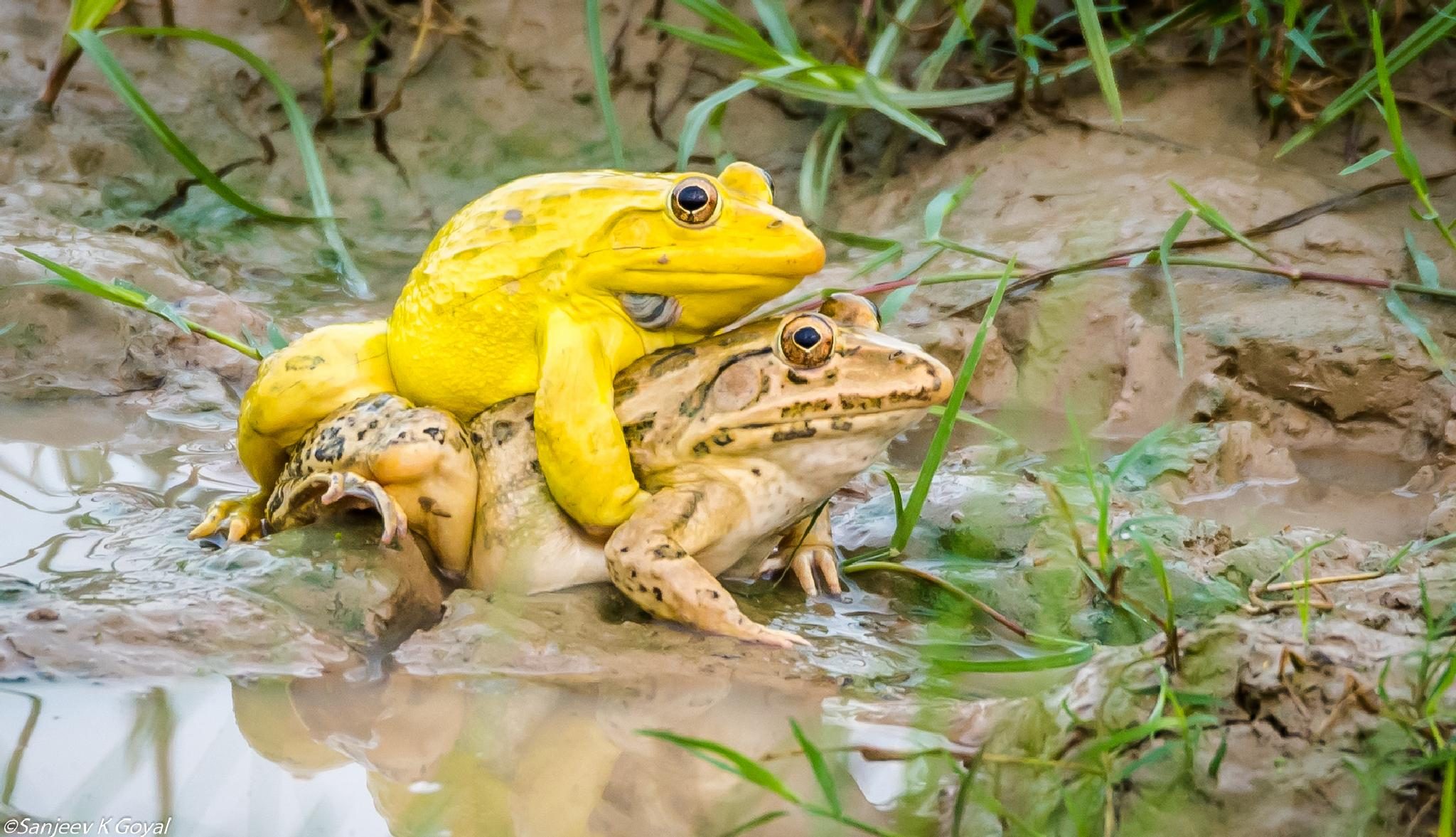 Indian Bull frog by sanjeev.k.goyal.10