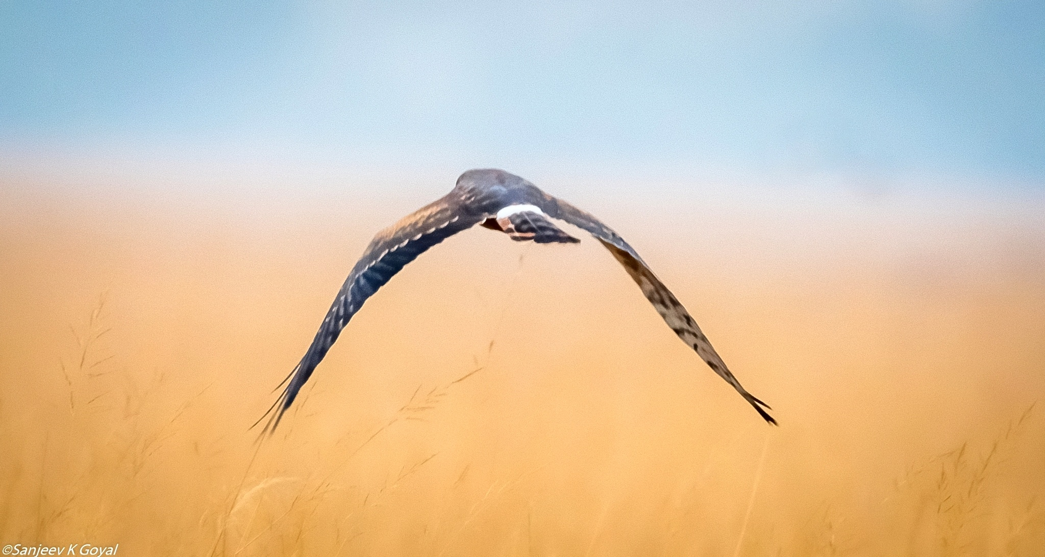 Montagu Harrier by sanjeev.k.goyal.10
