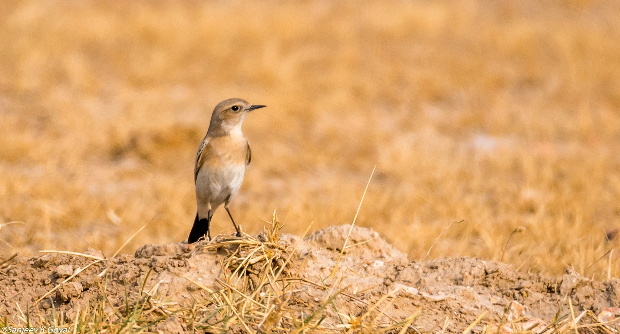 Desert wheatear by sanjeev.k.goyal.10