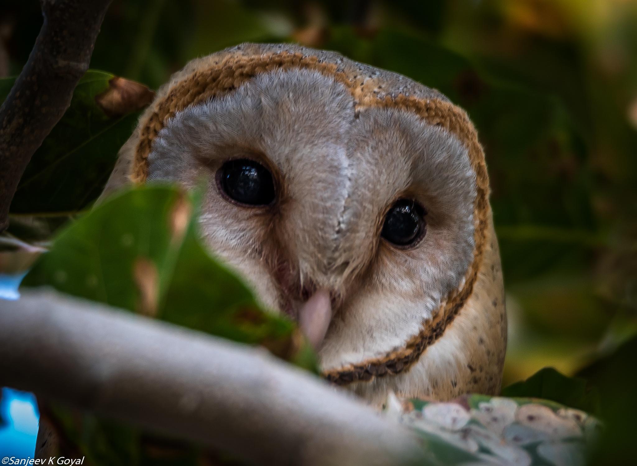 Barn owl by sanjeev.k.goyal.10