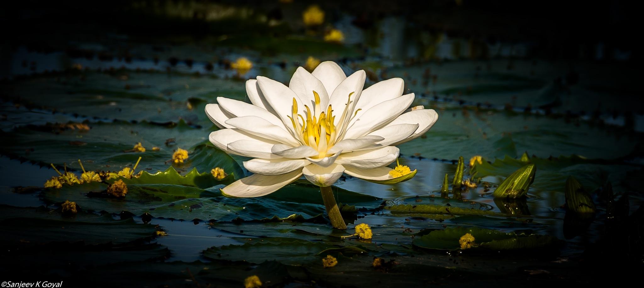 Water lily by sanjeev.k.goyal.10