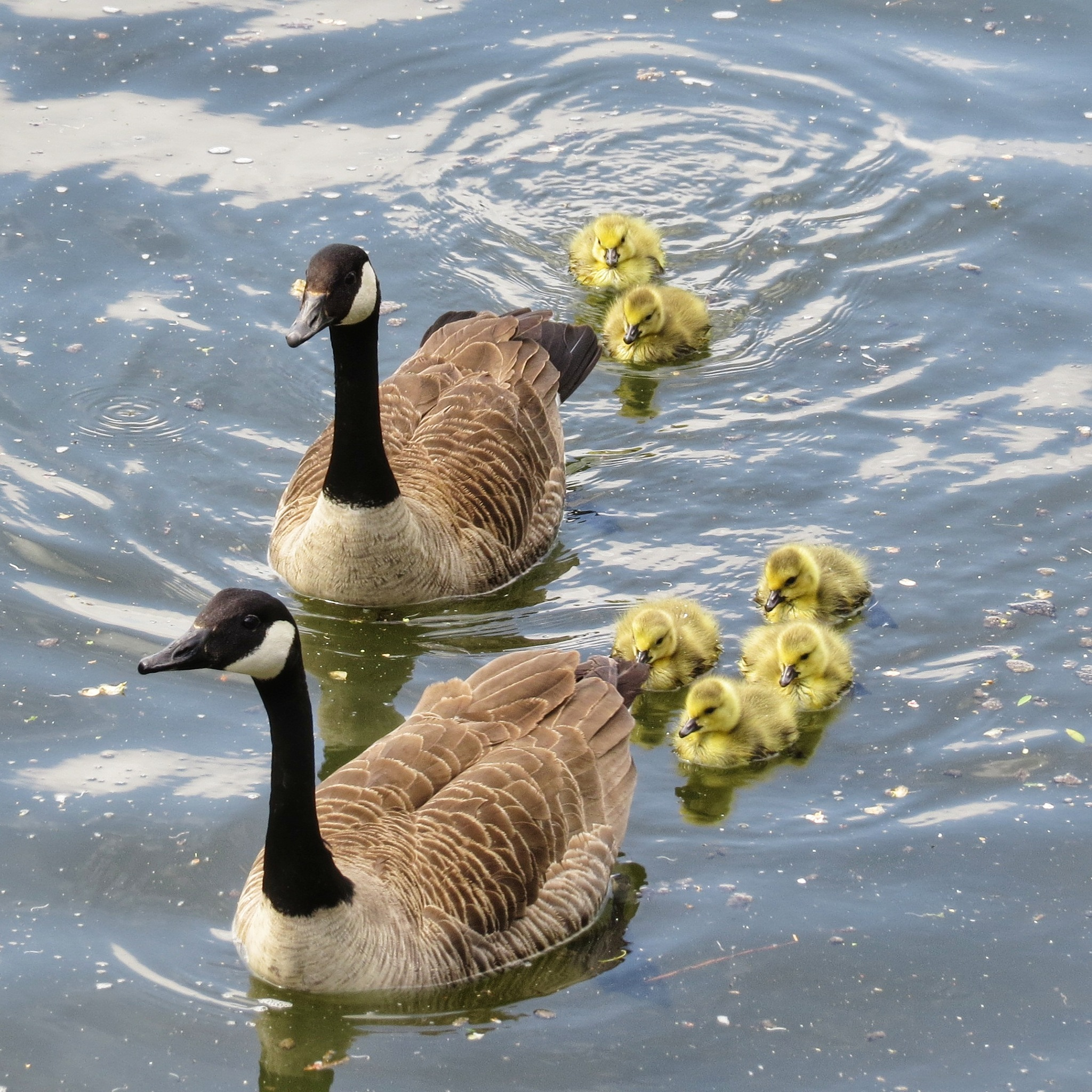 Canada Geese by Clive Warr