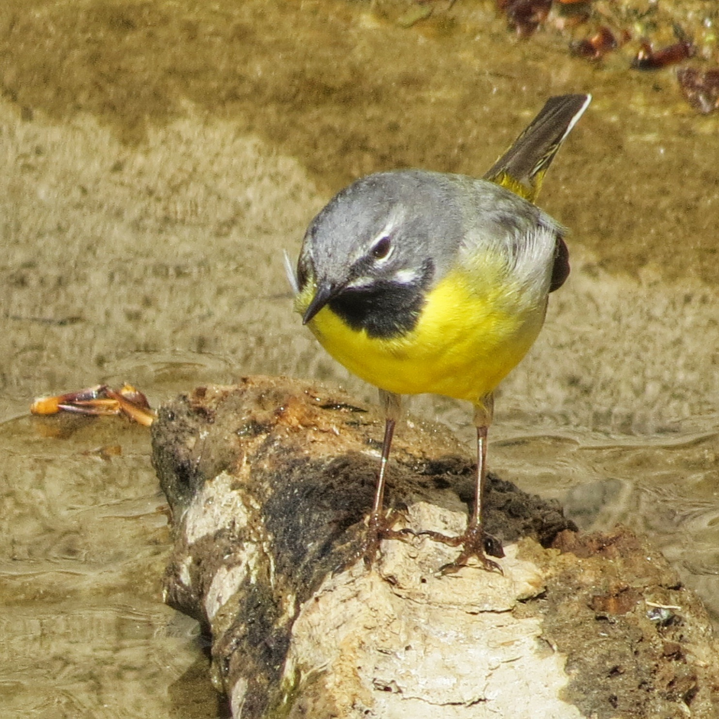 Grey Wagtail by Clive Warr