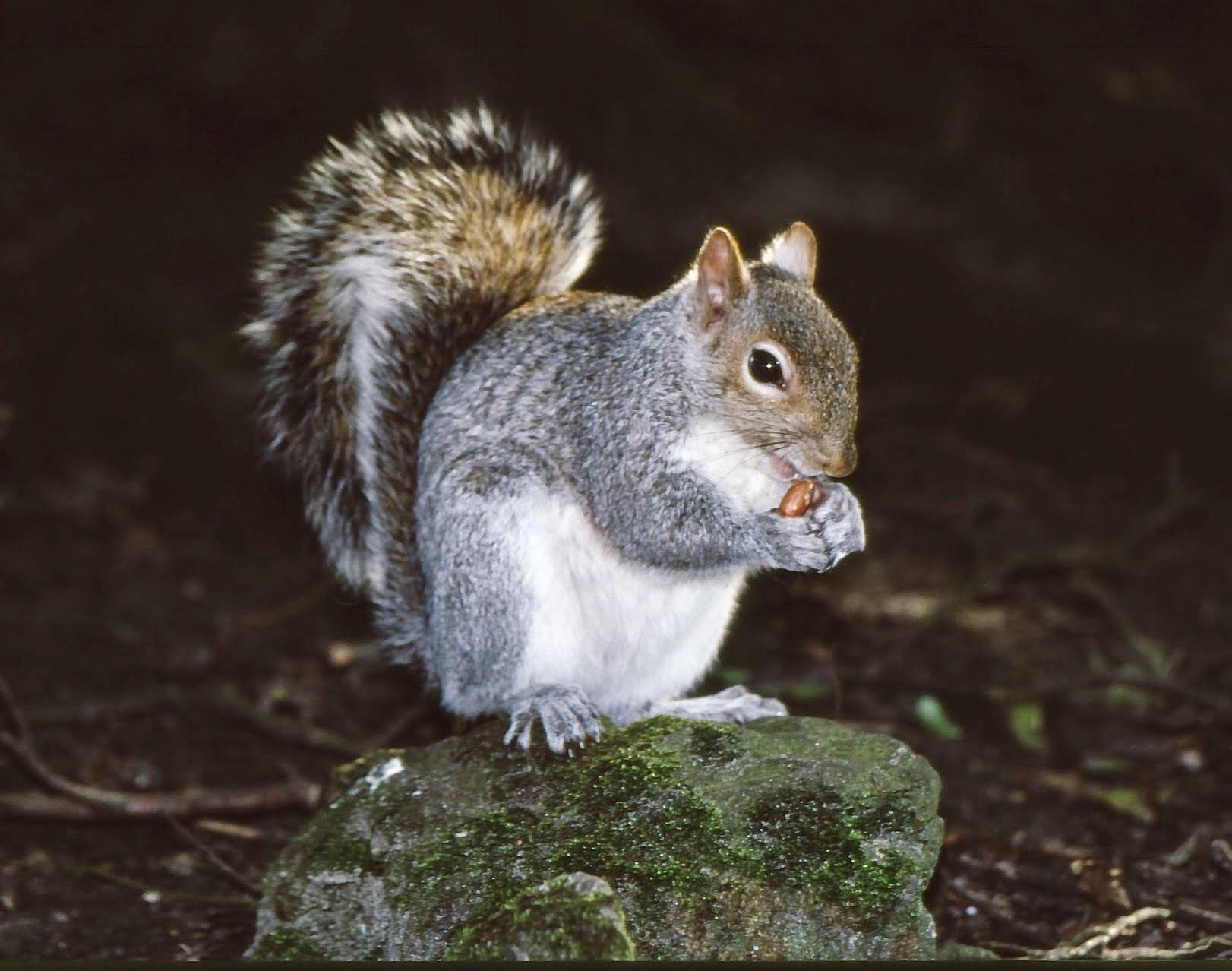 Grey Squirrel  by Clive Warr