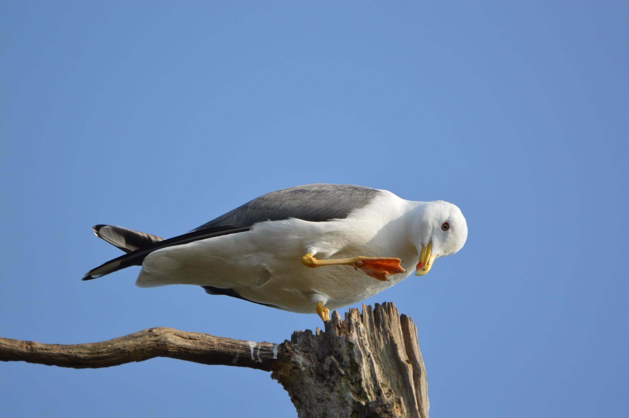 Photo in Animal #nature #animal #bird #gull #dance #tree top #uk #nikon