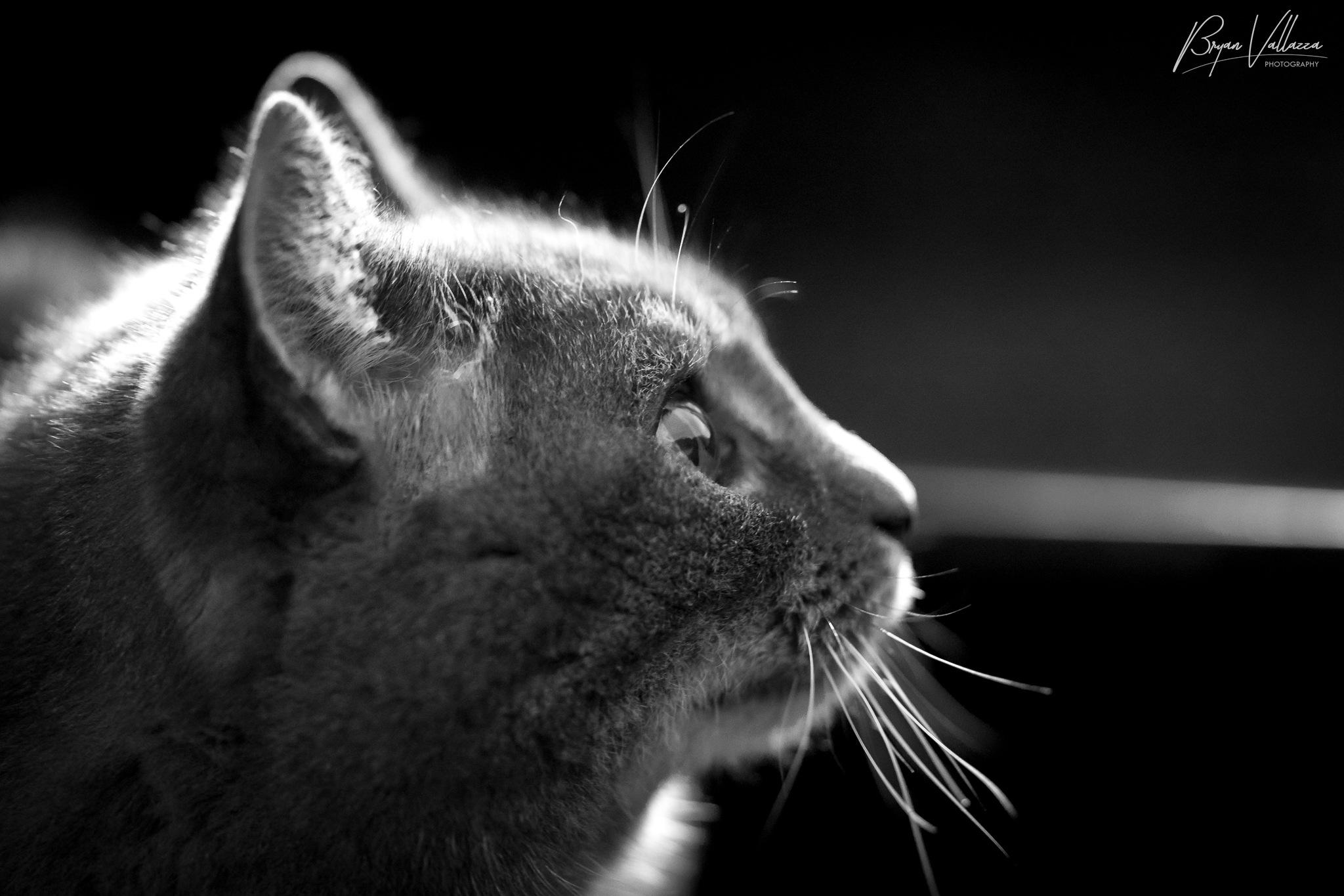Cat by bryanvallazza