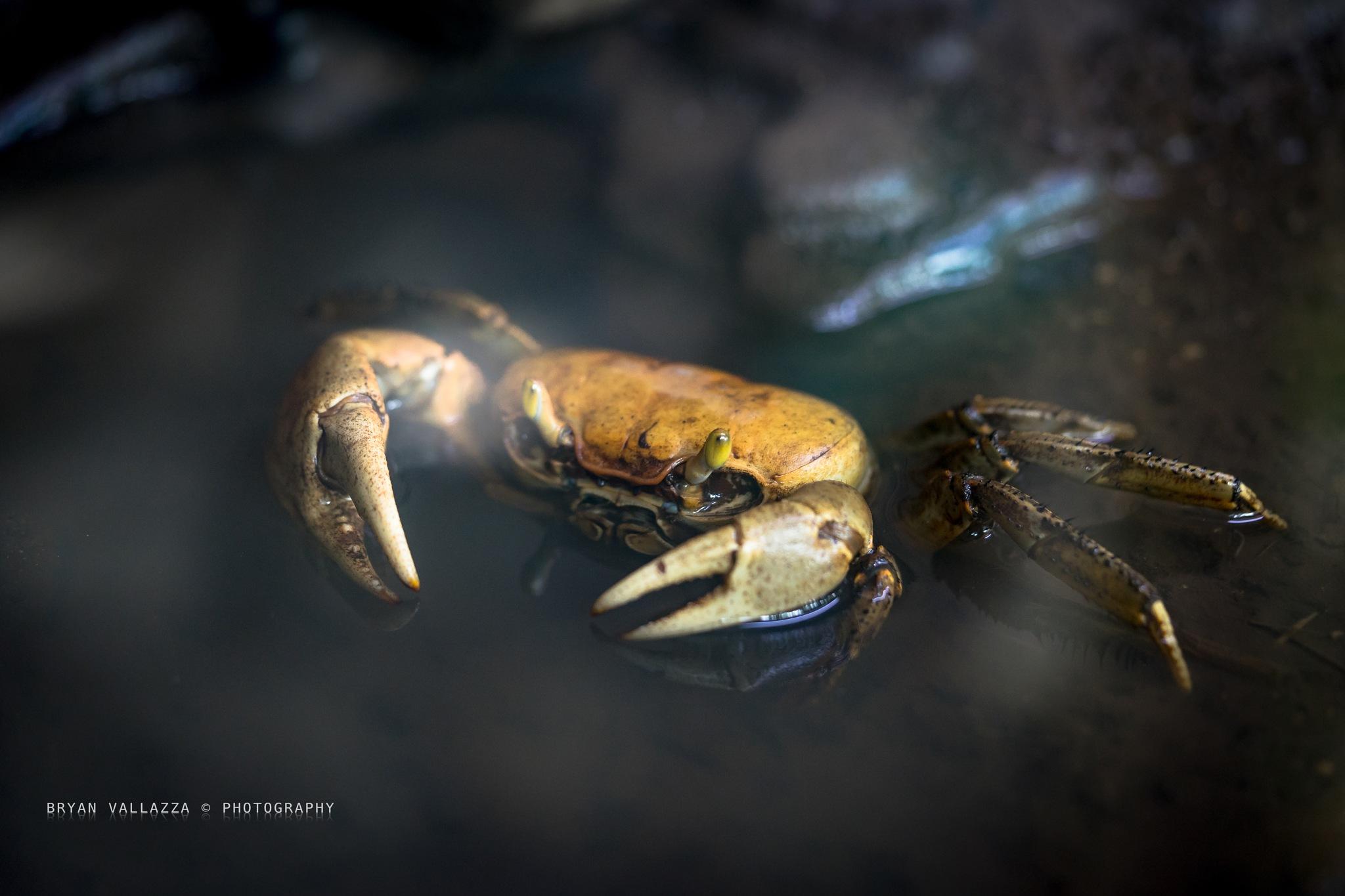 Crab by bryanvallazza