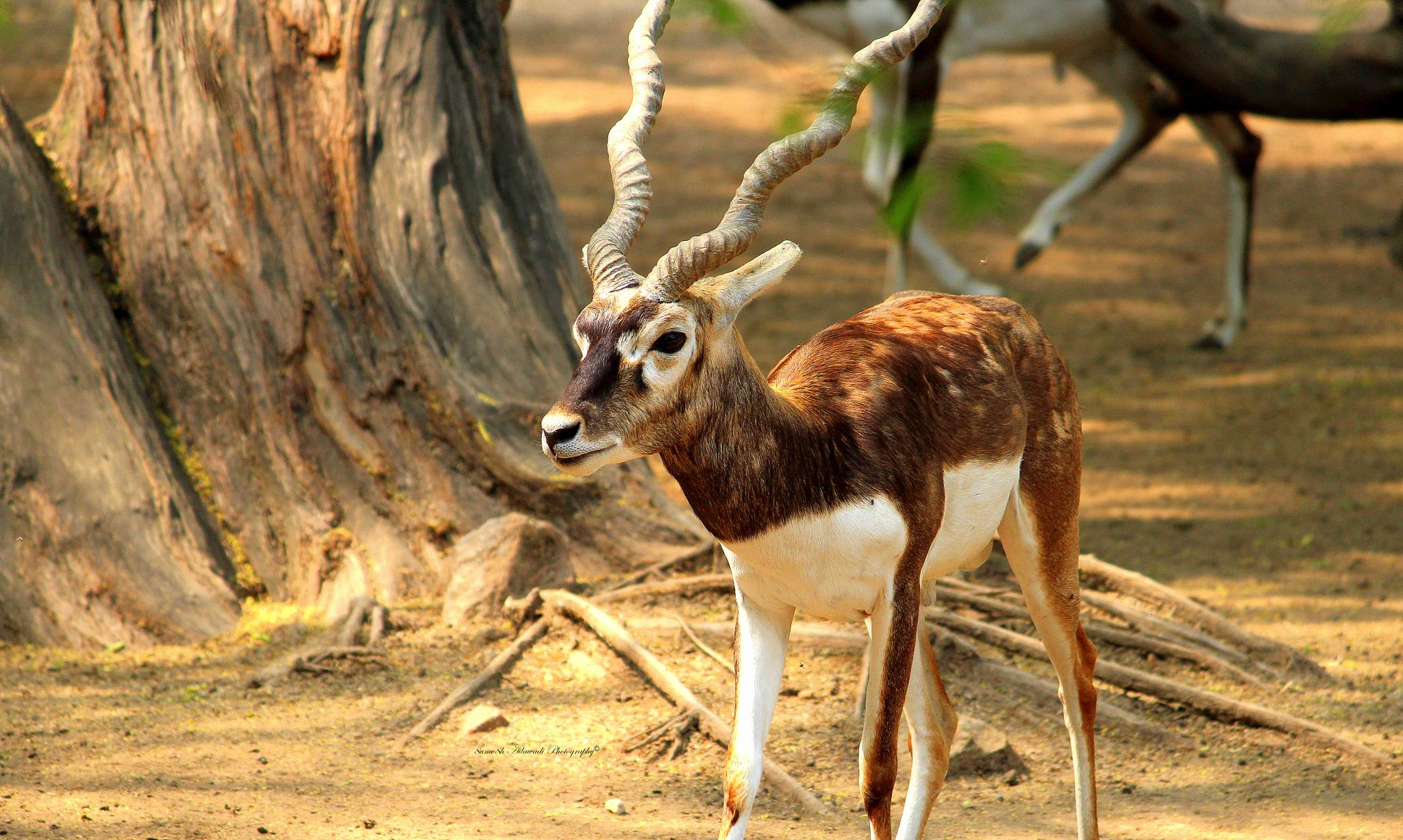 The Black Buck by Sumesh Ailawadi