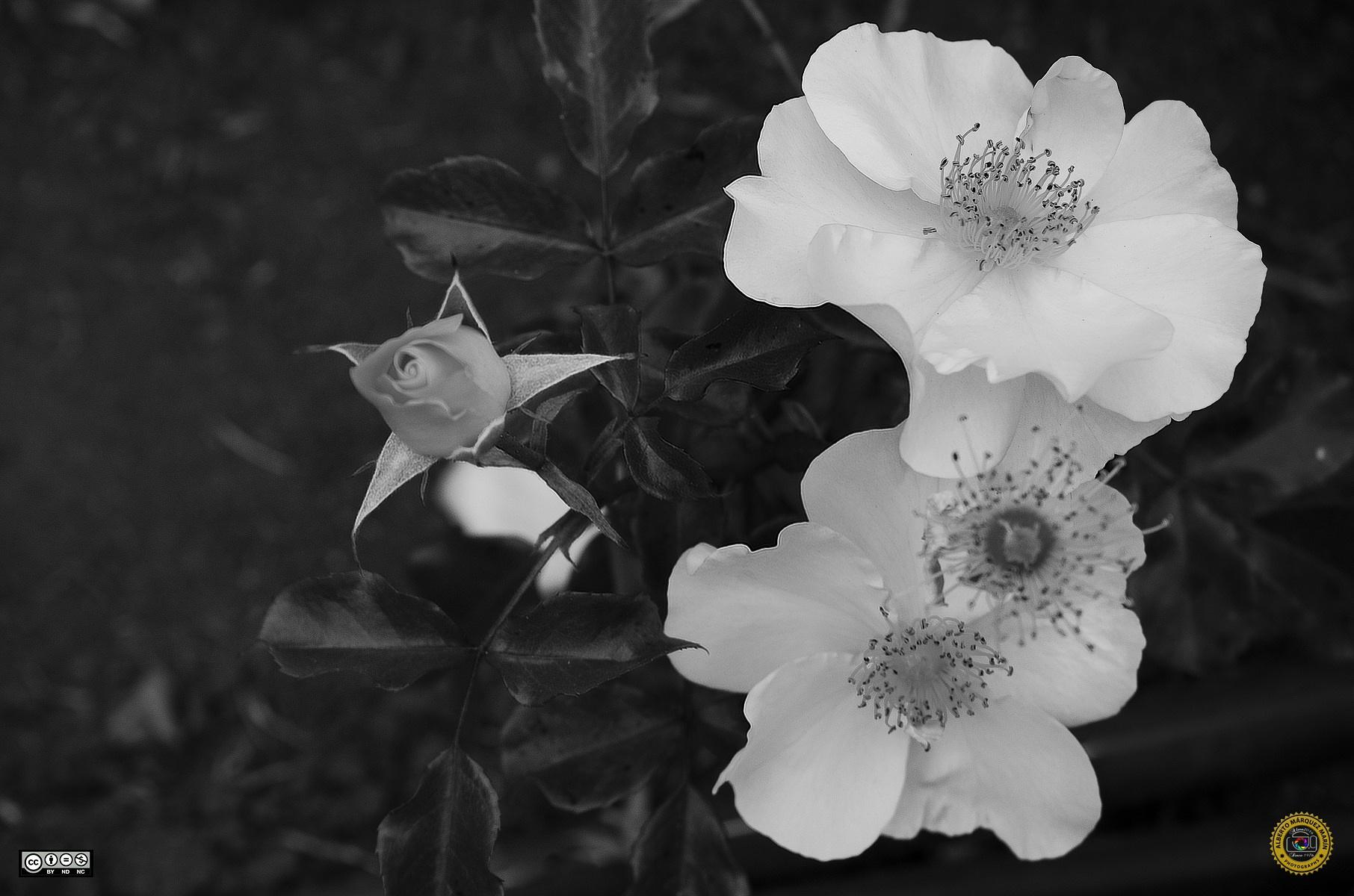 Roses by Alberto Márquez Marín