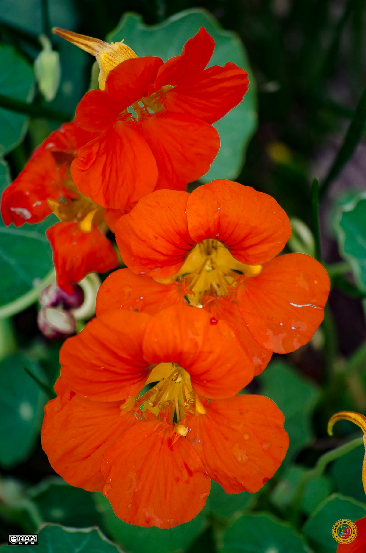 Orange flowers by Alberto Márquez Marín