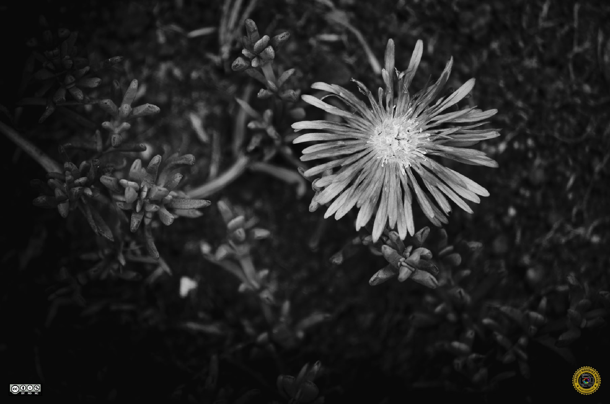 BW flower by Alberto Márquez Marín