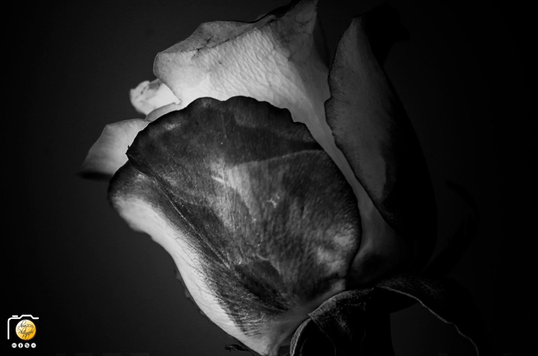 BnW Rose by Alberto Márquez Marín