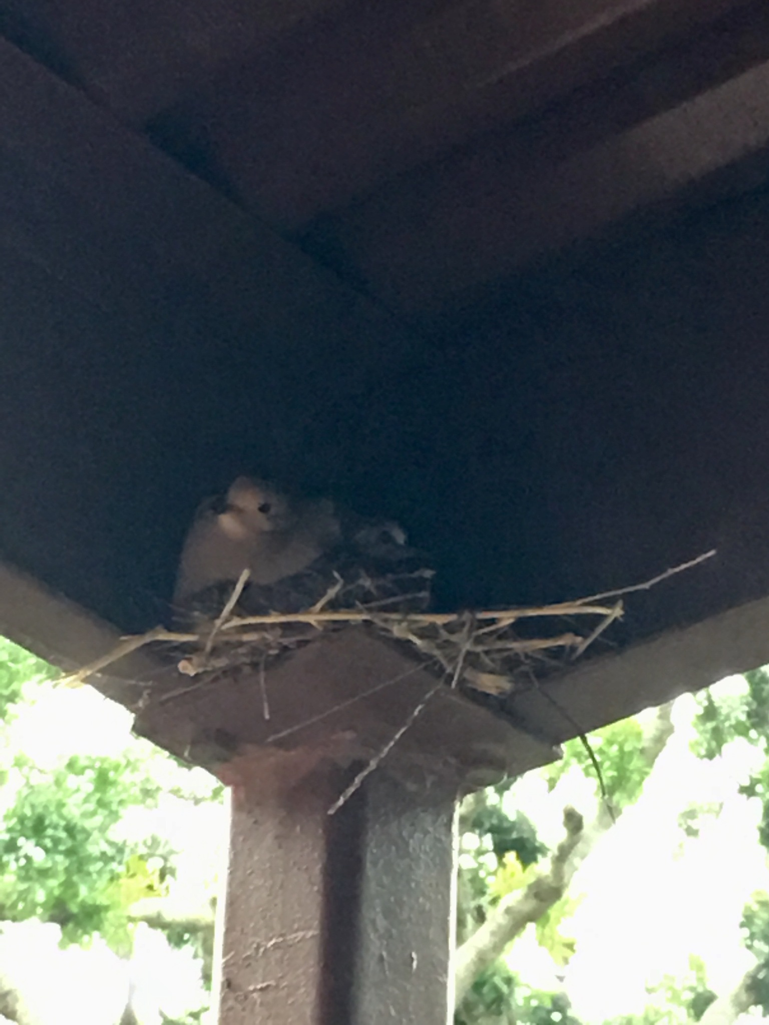 A dove has her nest right outside my patio door  by pamela.kanarr